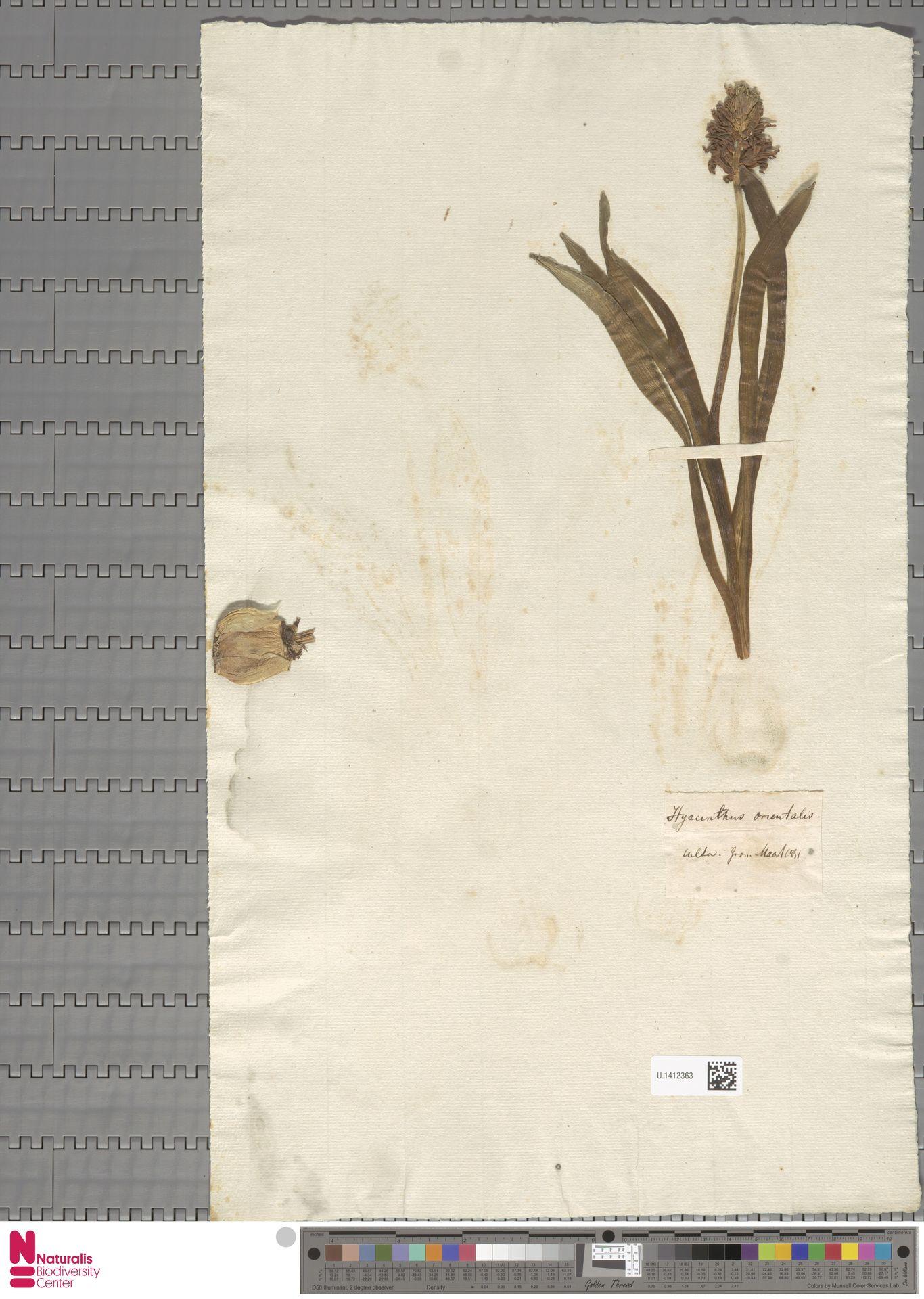 U.1412363 | Hyacinthus orientalis L.