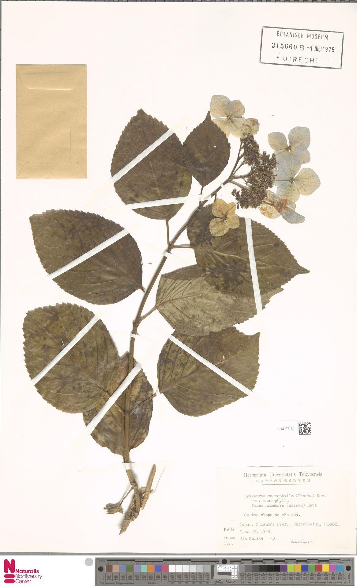 U.1412713   Hydrangea macrophylla f. normalis (Wilson) Hara