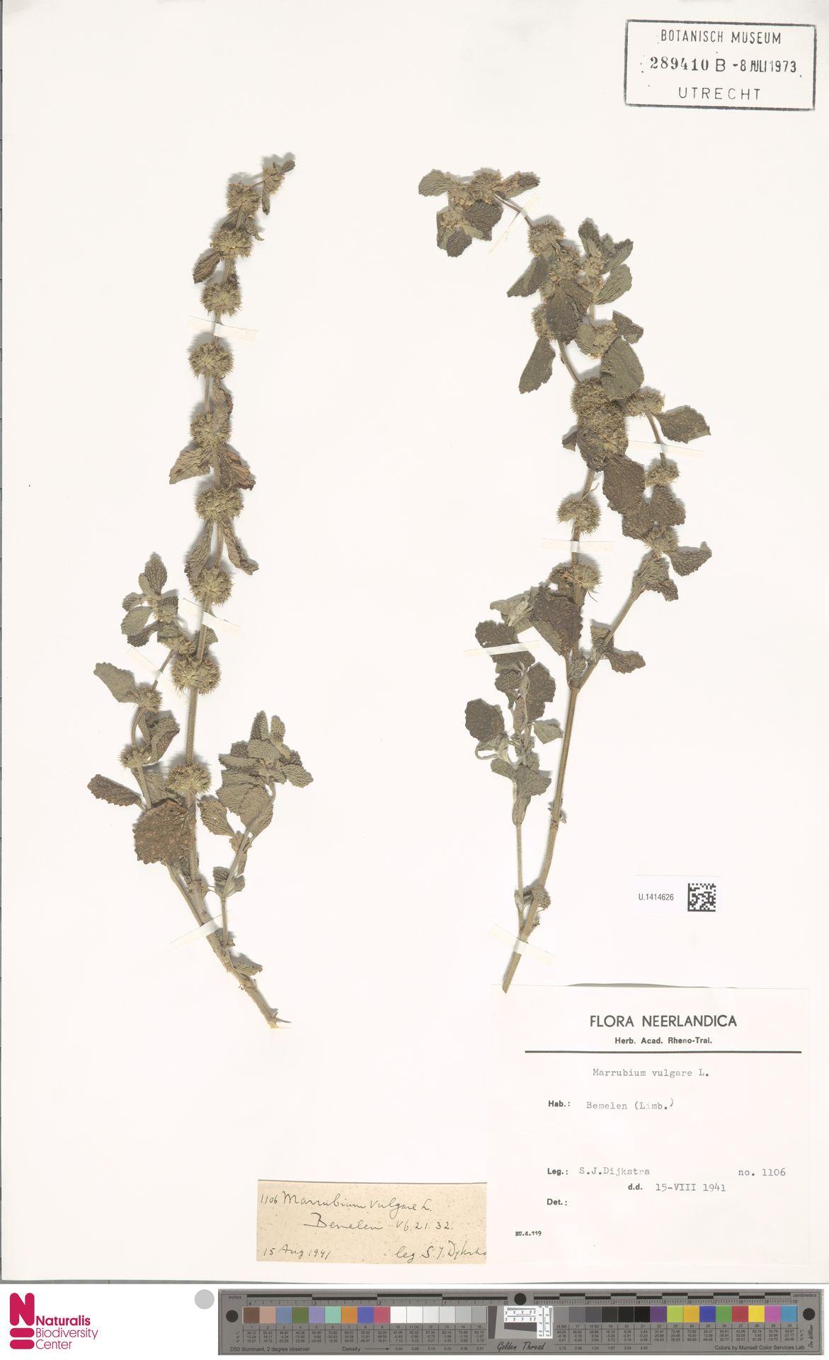U.1414626 | Marrubium vulgare L.