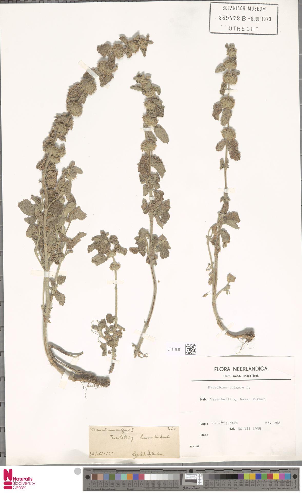 U.1414629 | Marrubium vulgare L.