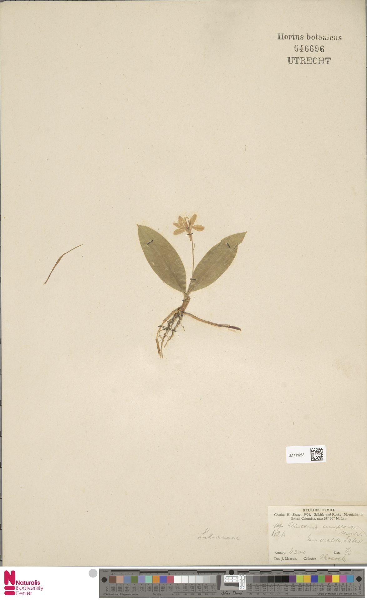 U.1419253   Clintonia uniflora Kunth