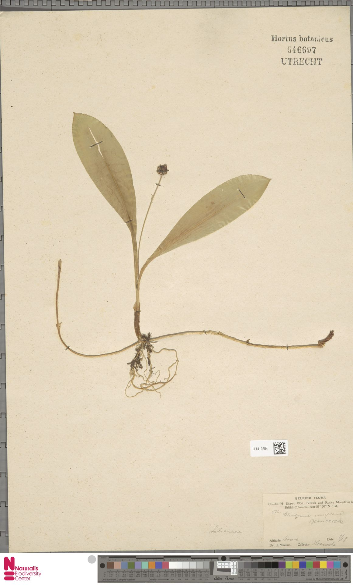 U.1419254 | Clintonia uniflora Kunth