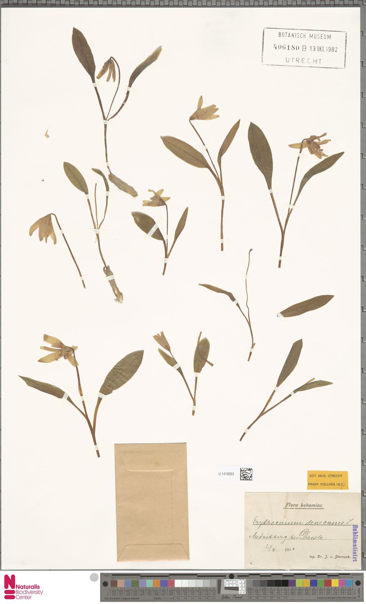 U.1419263 | Erythronium dens-canis L.
