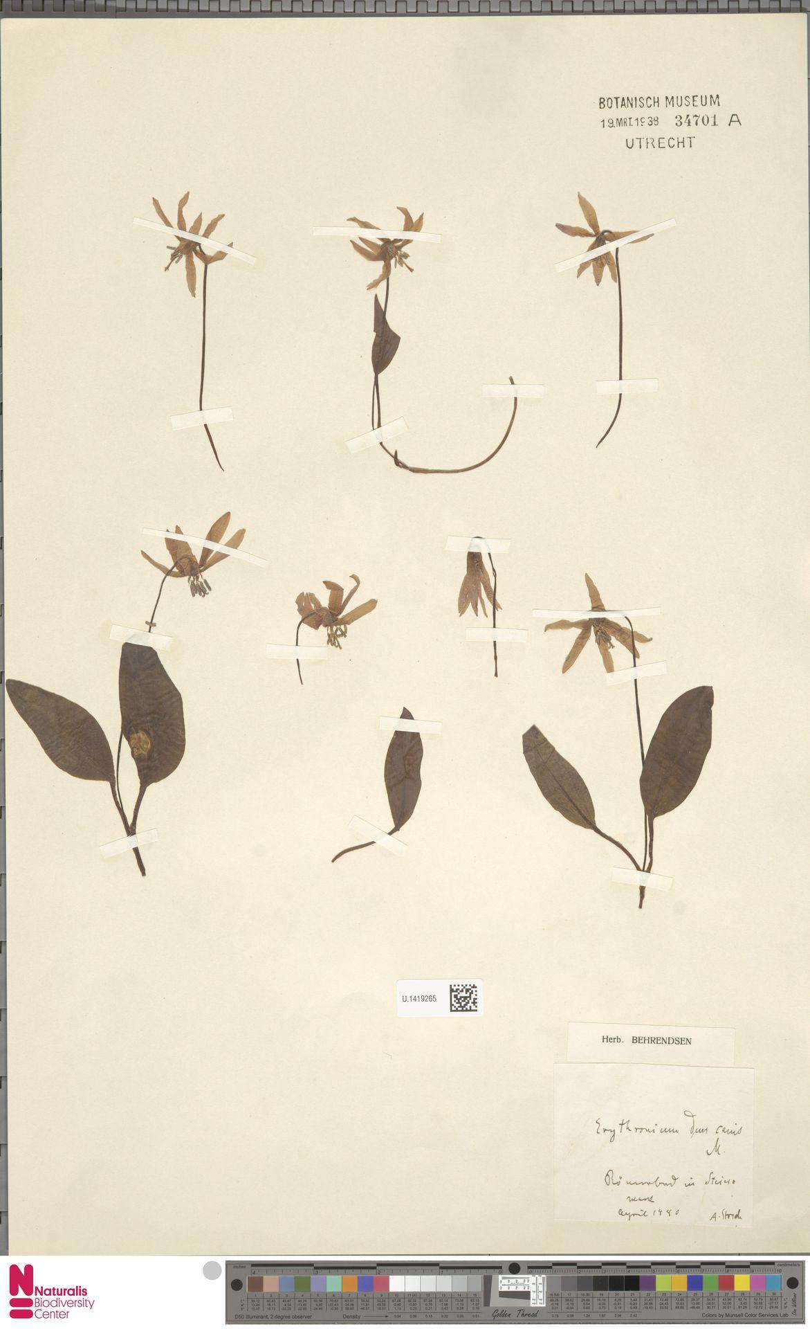 U.1419265 | Erythronium dens-canis L.