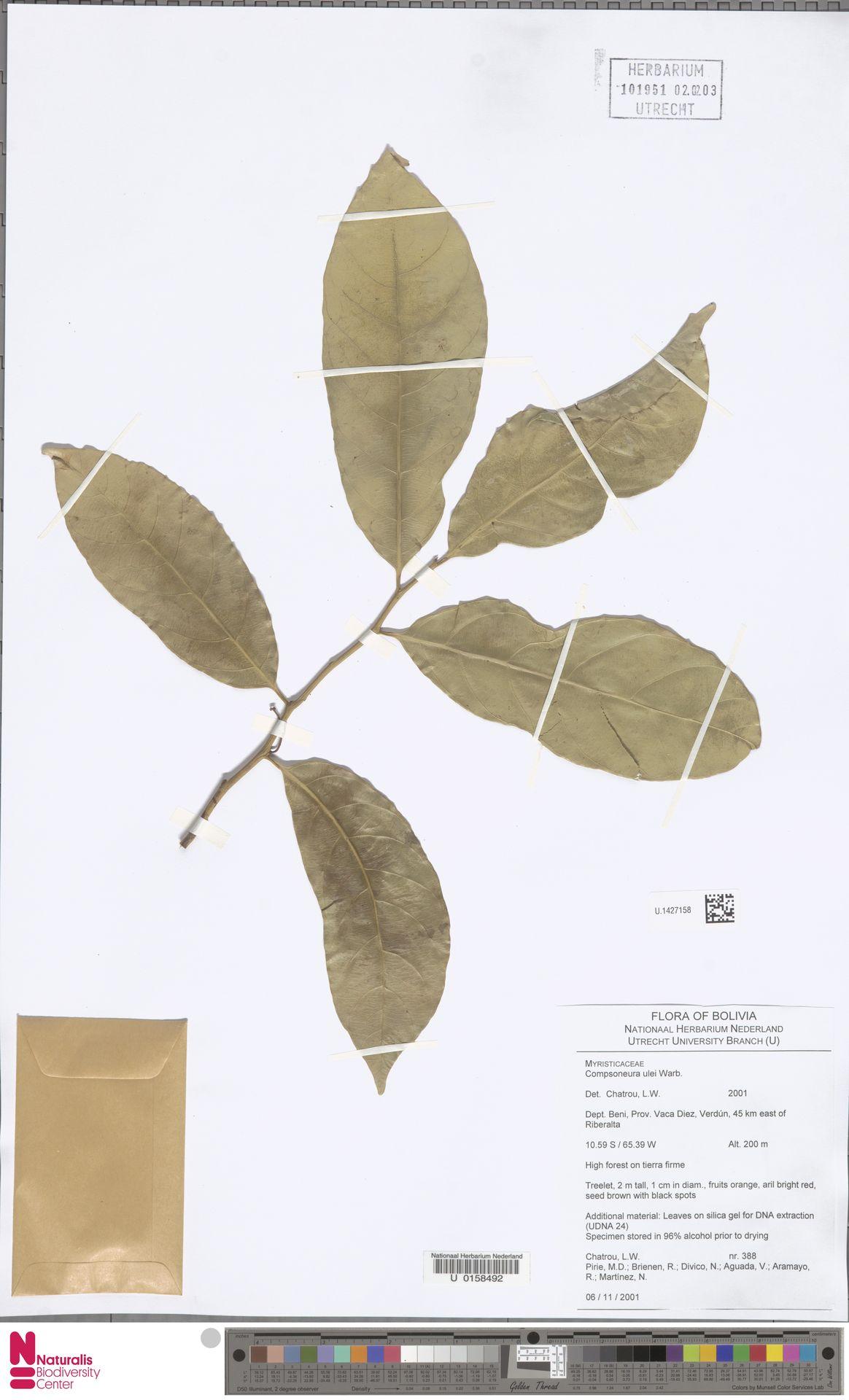 U.1427158 | Compsoneura ulei Warb.