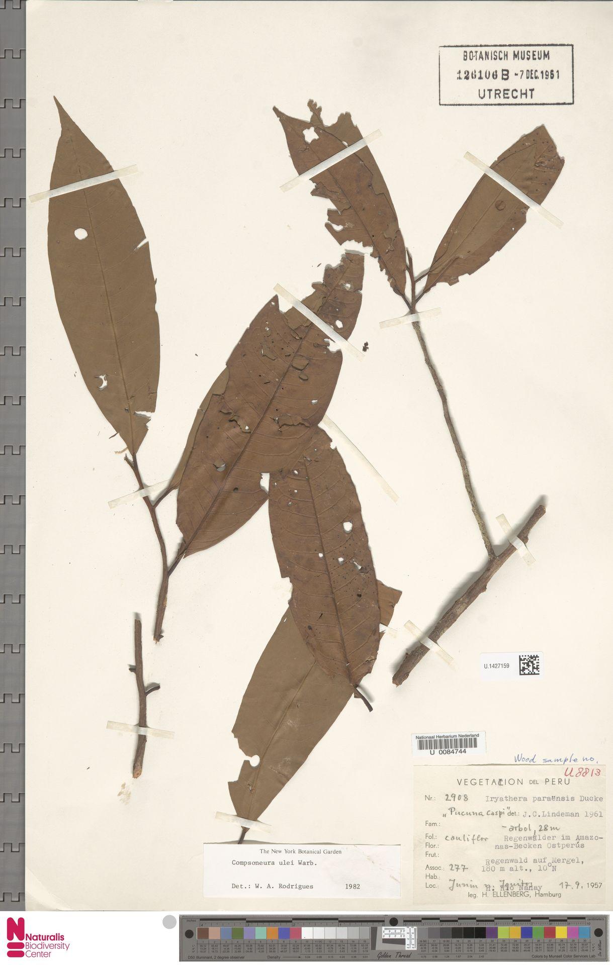 U.1427159 | Compsoneura ulei Warb.