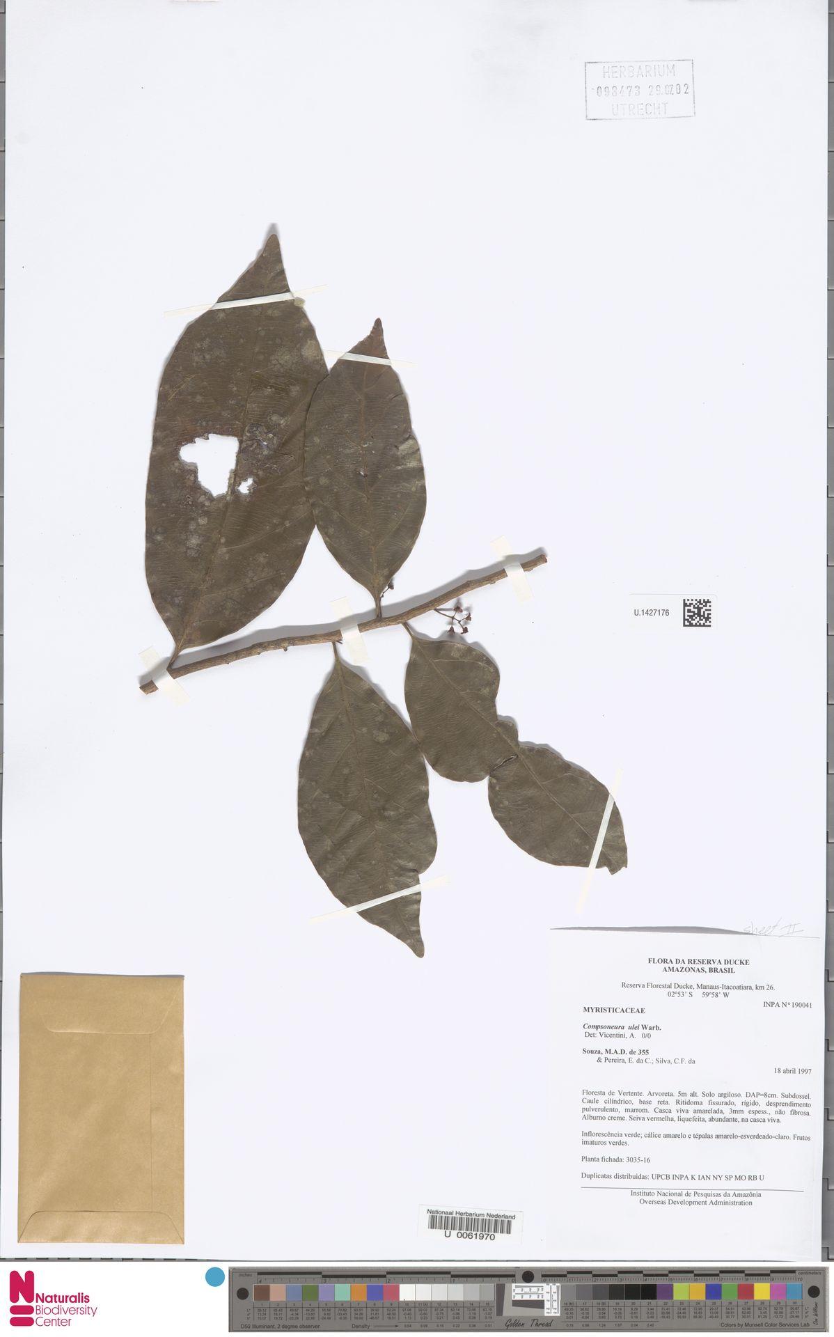 U.1427176 | Compsoneura ulei Warb.