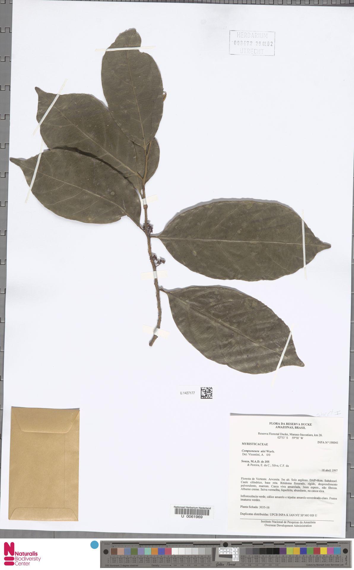 U.1427177 | Compsoneura ulei Warb.
