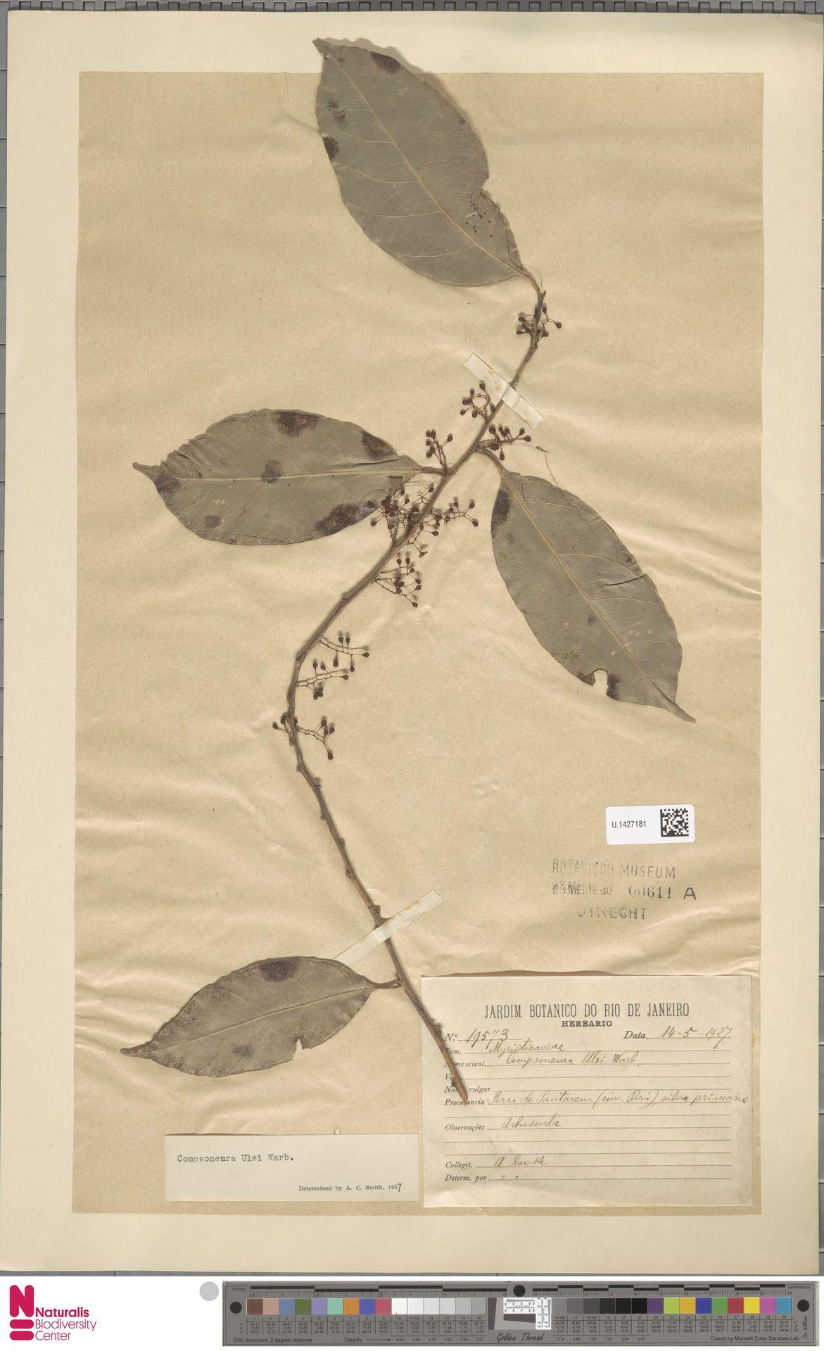 U.1427181 | Compsoneura ulei Warb.