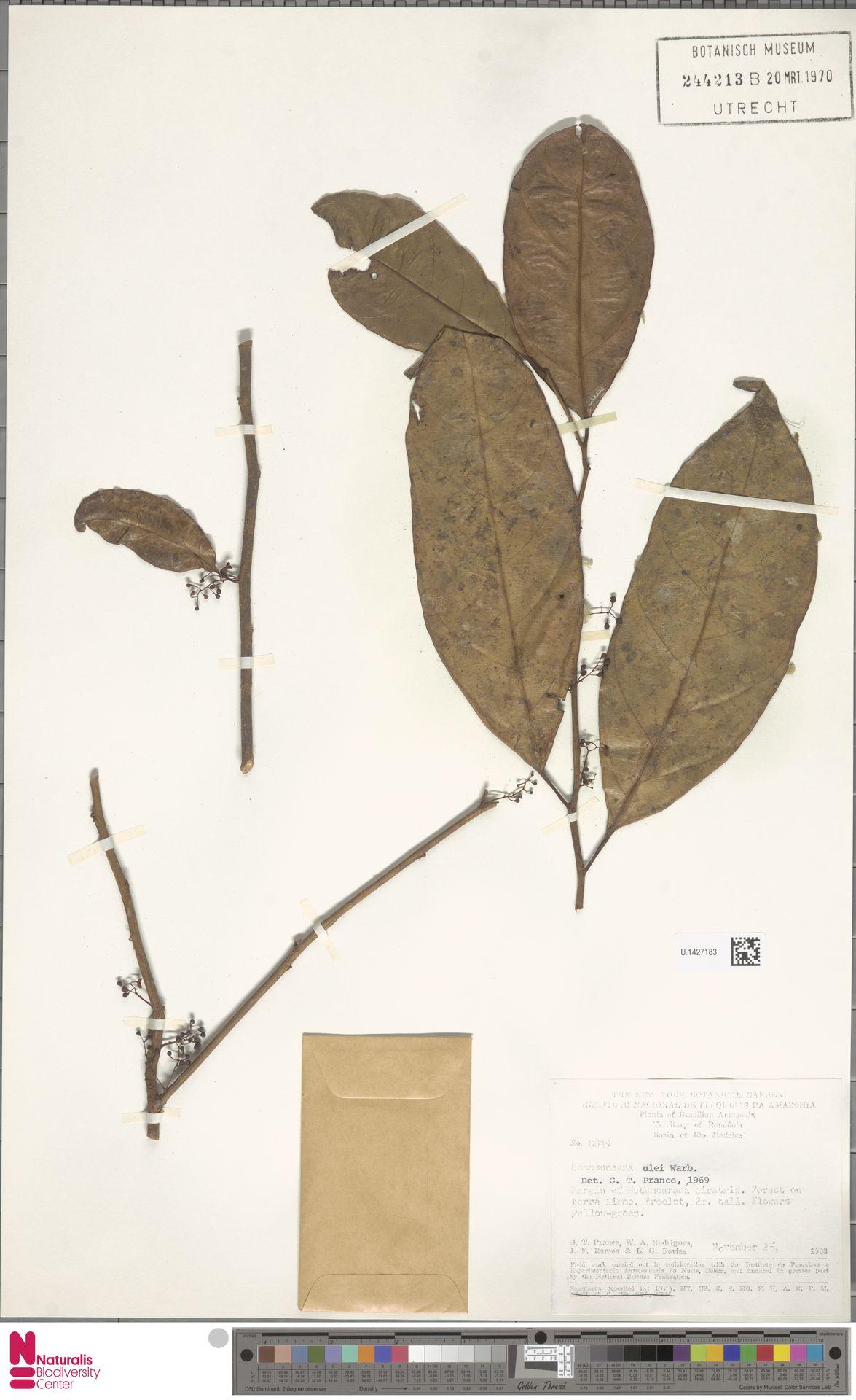 U.1427183 | Compsoneura ulei Warb.