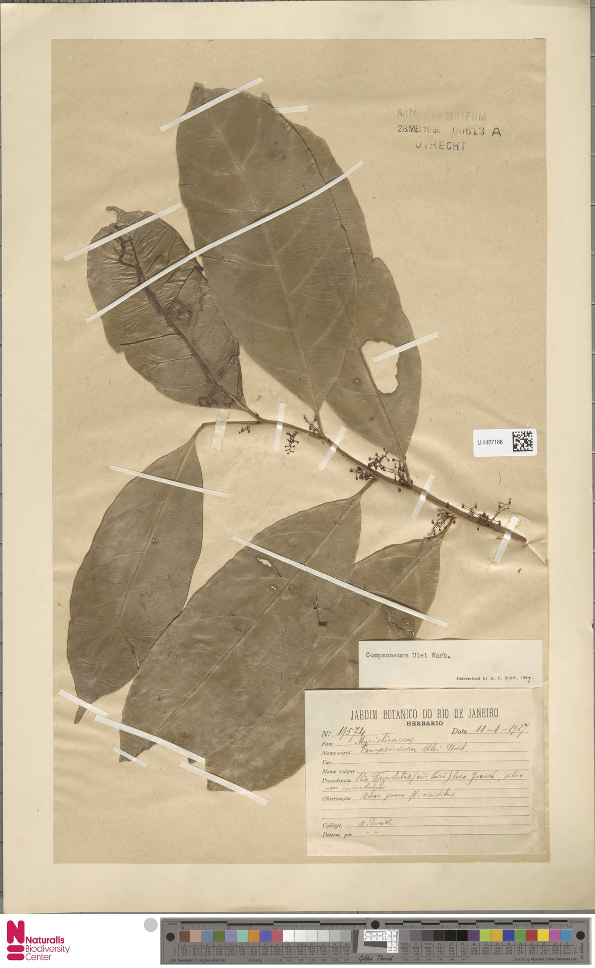 U.1427186 | Compsoneura ulei Warb.