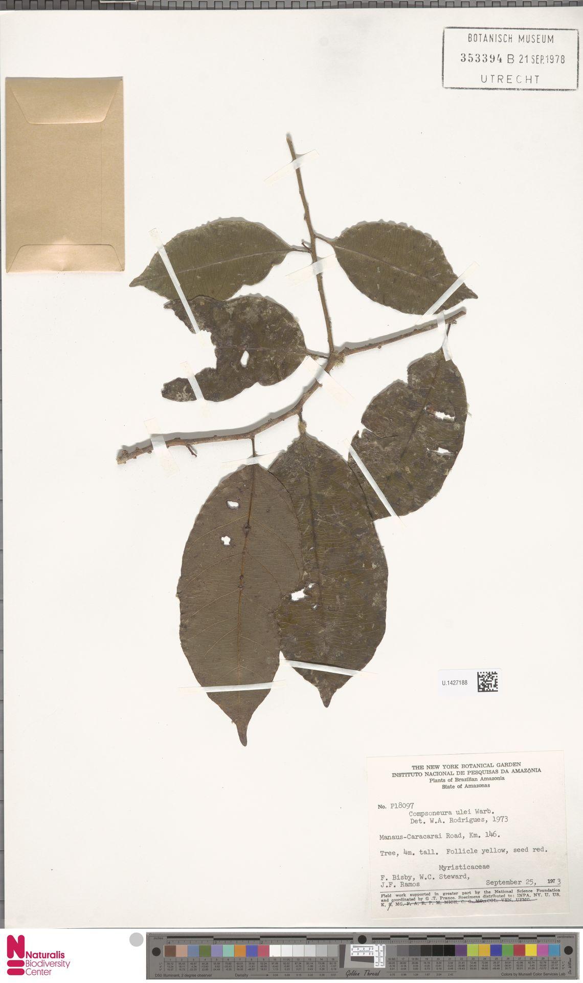 U.1427188 | Compsoneura ulei Warb.