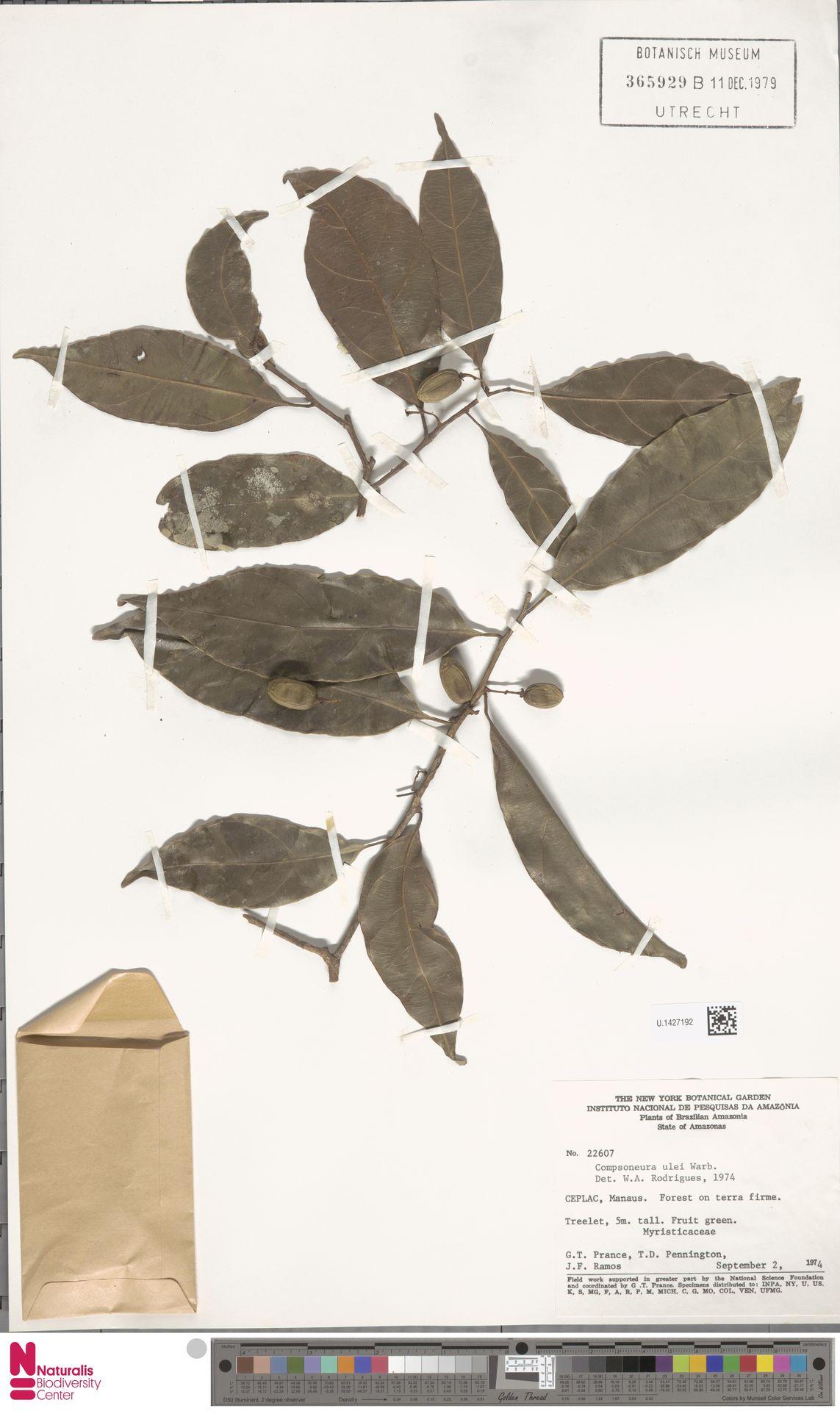 U.1427192 | Compsoneura ulei Warb.