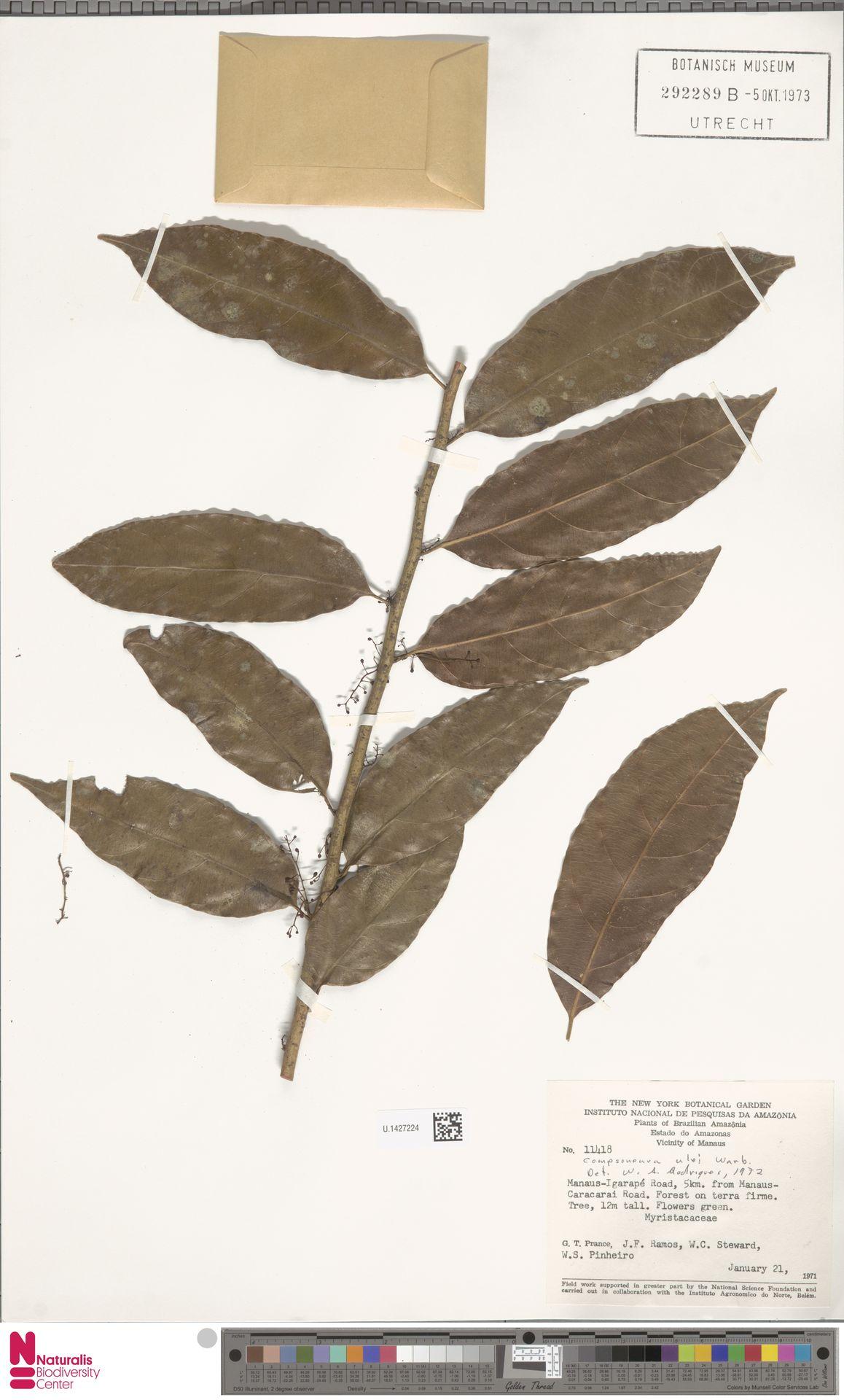 U.1427224 | Compsoneura ulei Warb.