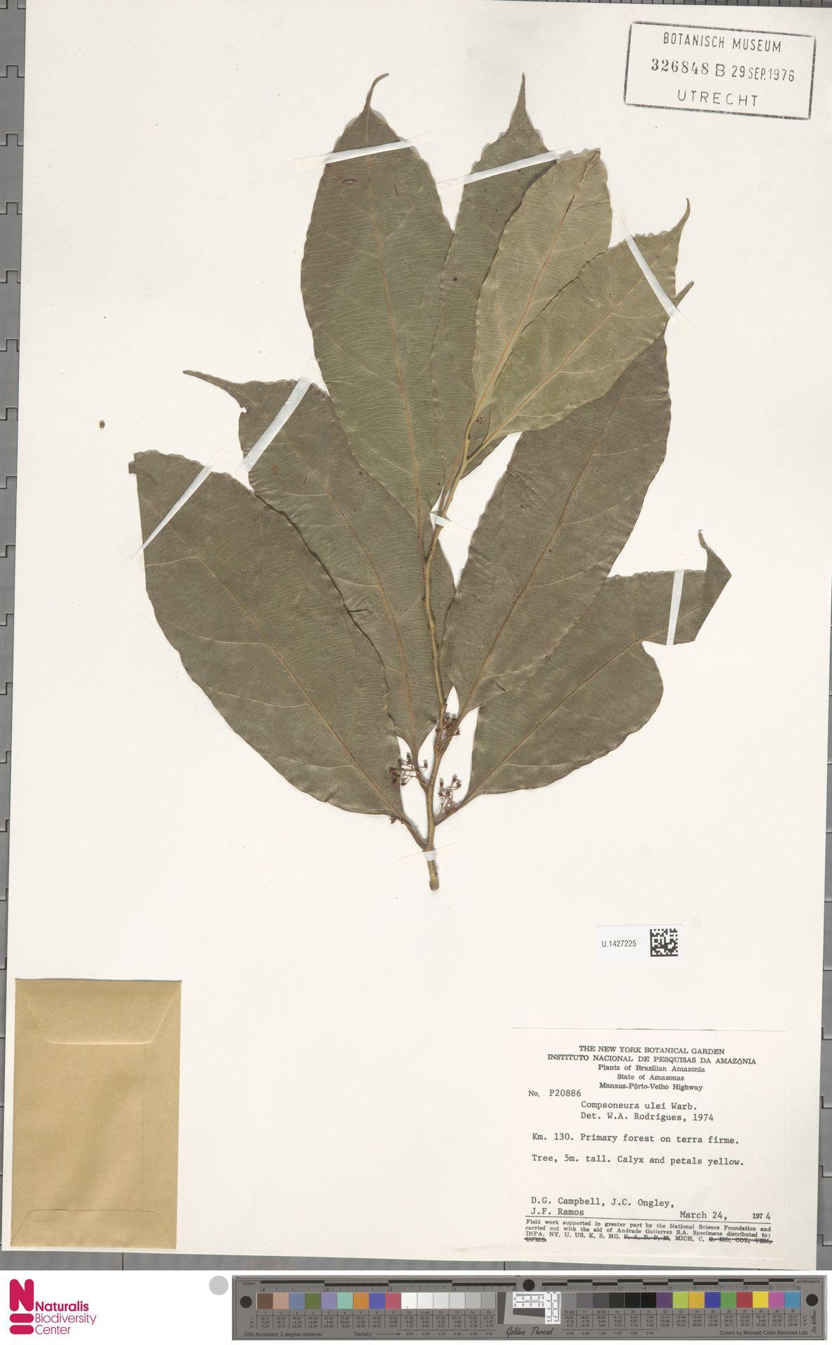 U.1427225 | Compsoneura ulei Warb.