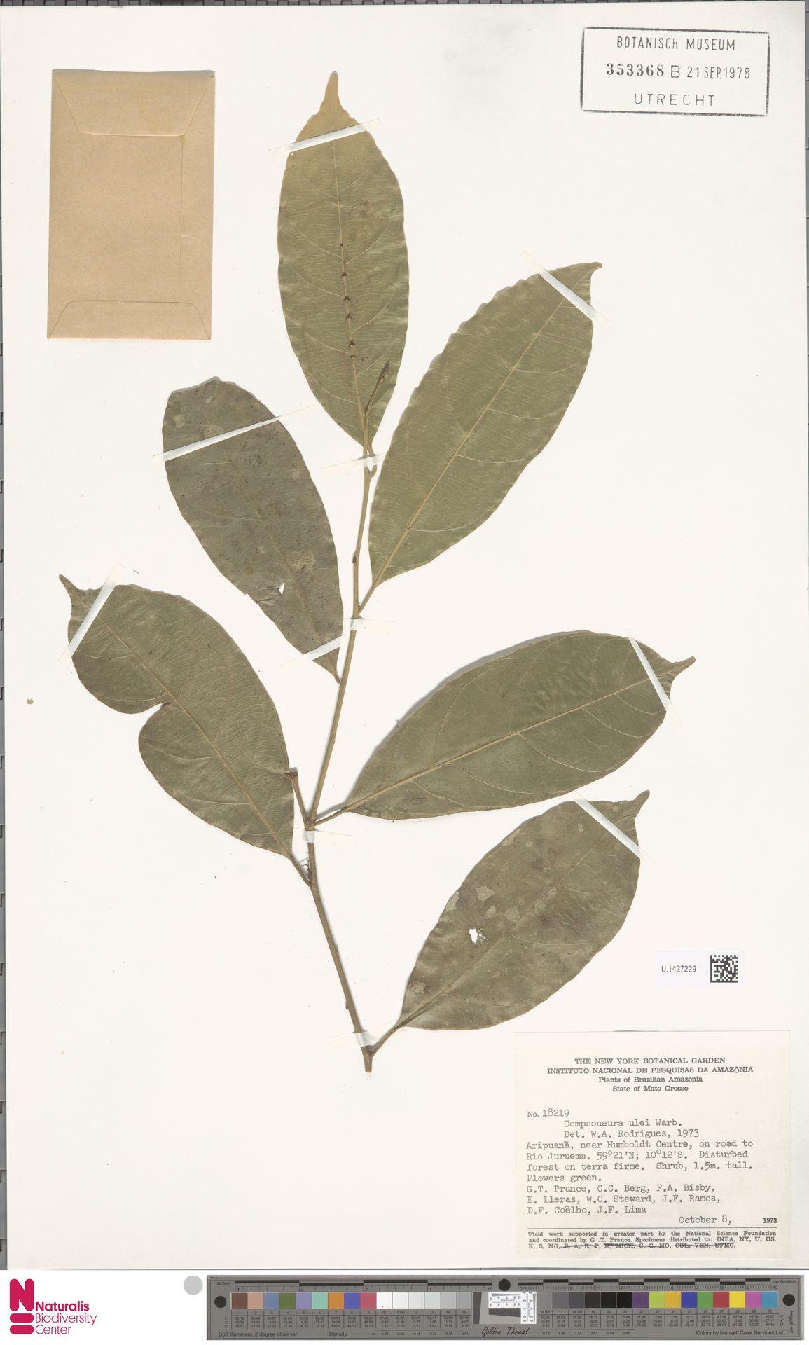 U.1427229 | Compsoneura ulei Warb.