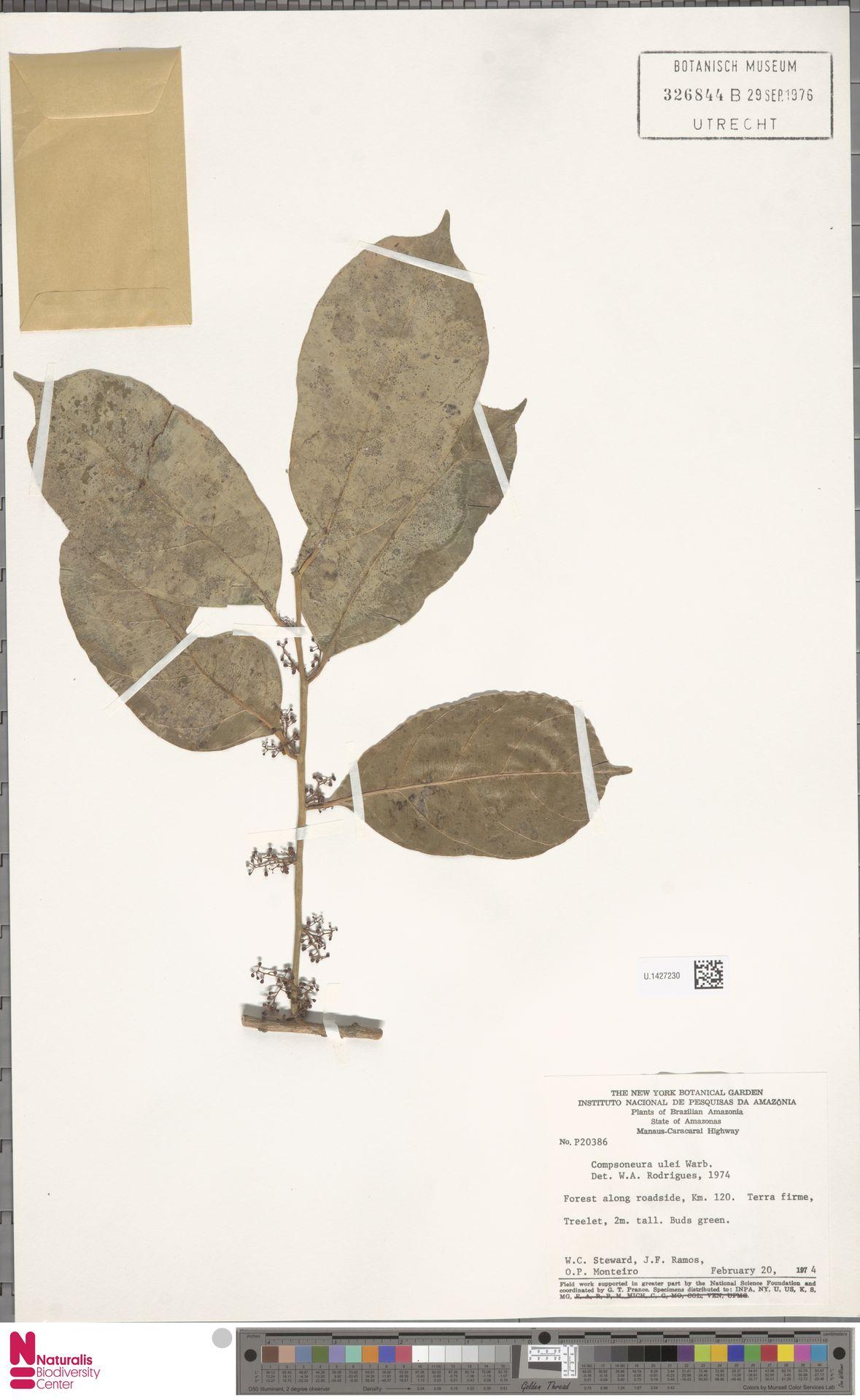 U.1427230 | Compsoneura ulei Warb.
