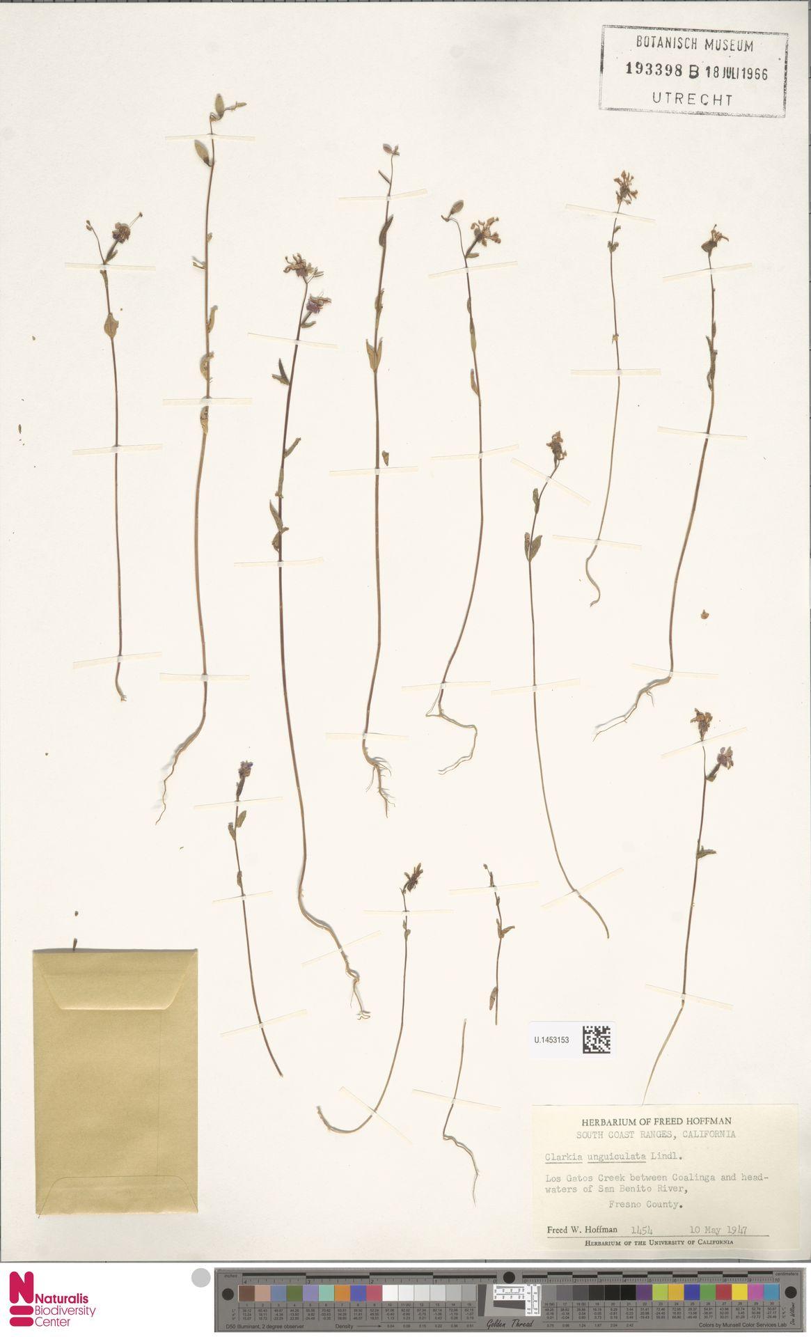 U.1453153 | Clarkia unguiculata Lindl.