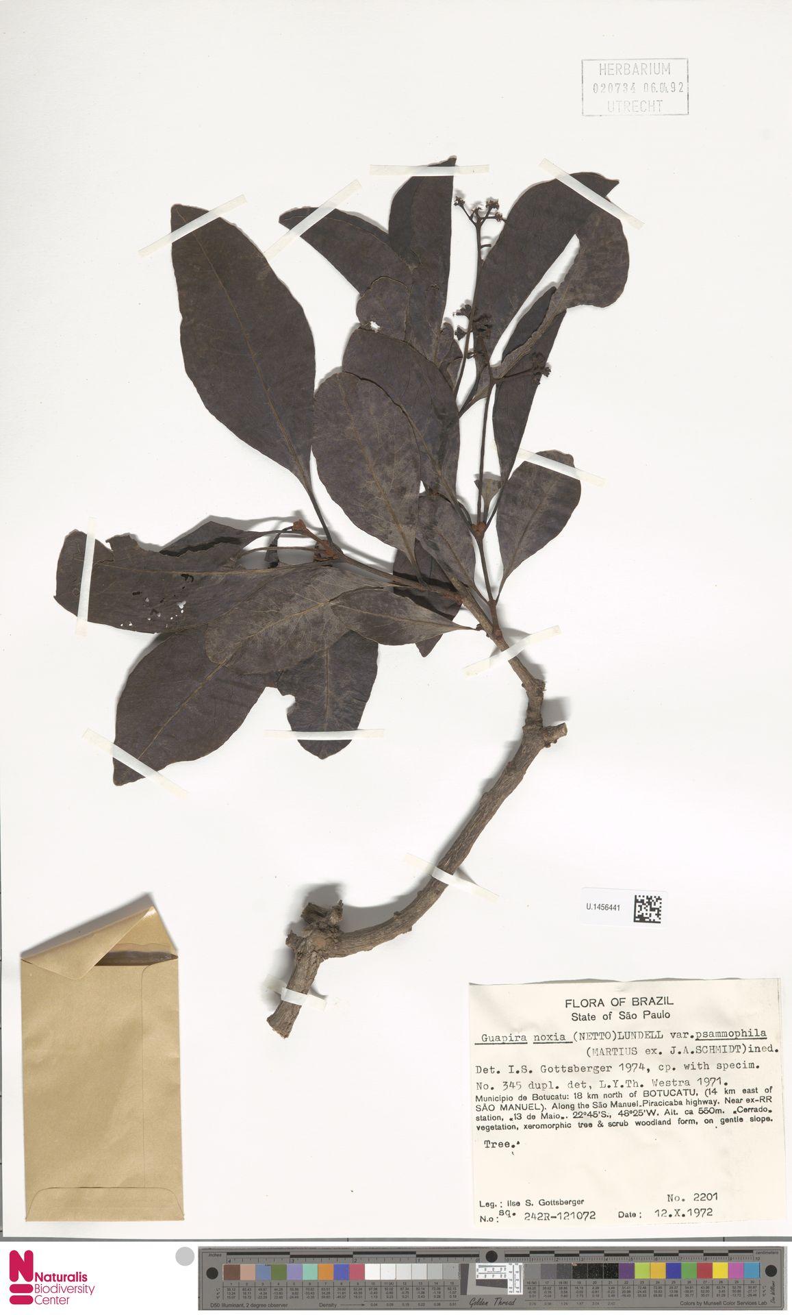 U.1456441 | Guapira noxia var. psammophila Mart. ex J.A.Schmidt