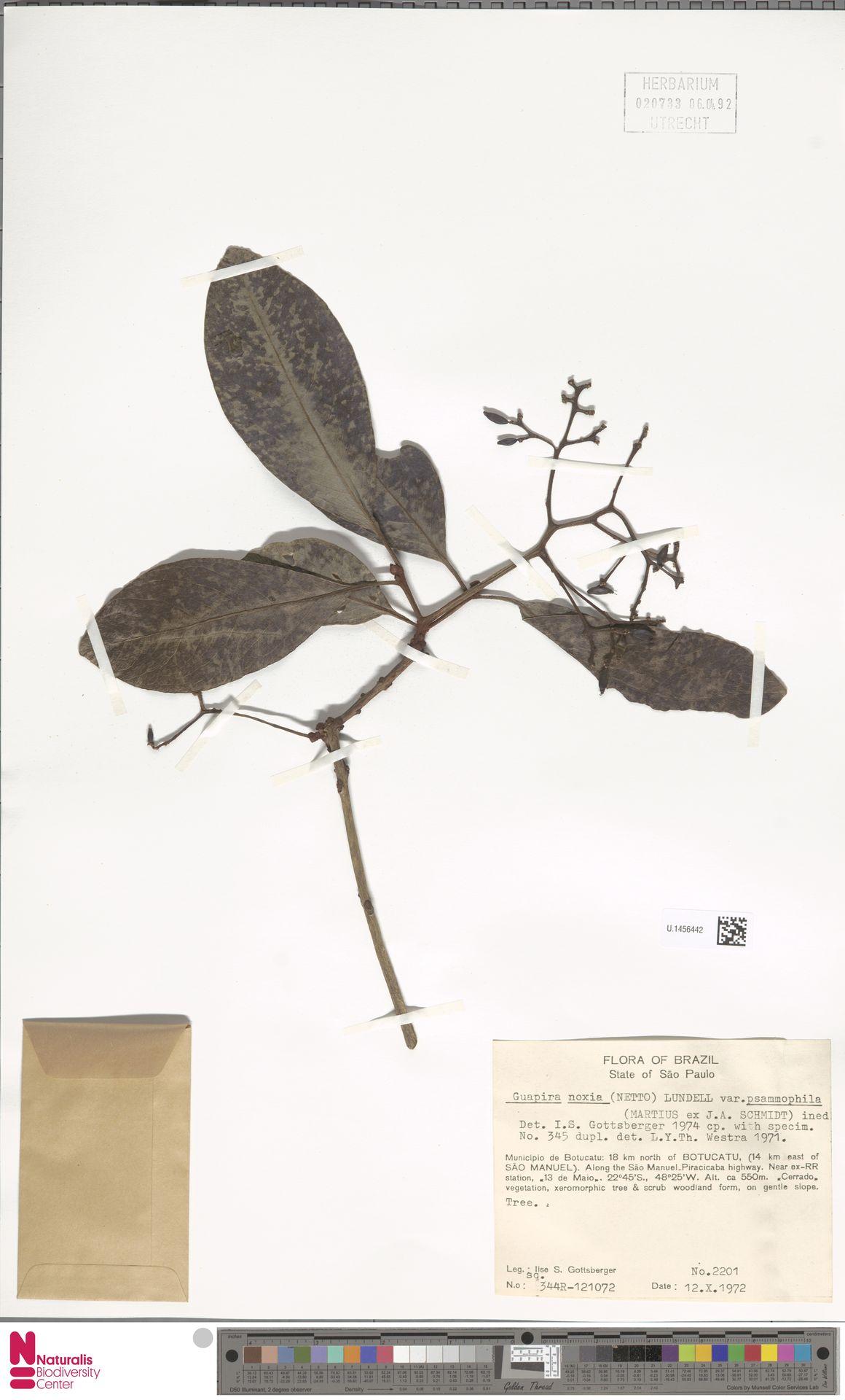 U.1456442 | Guapira noxia var. psammophila Mart. ex J.A.Schmidt