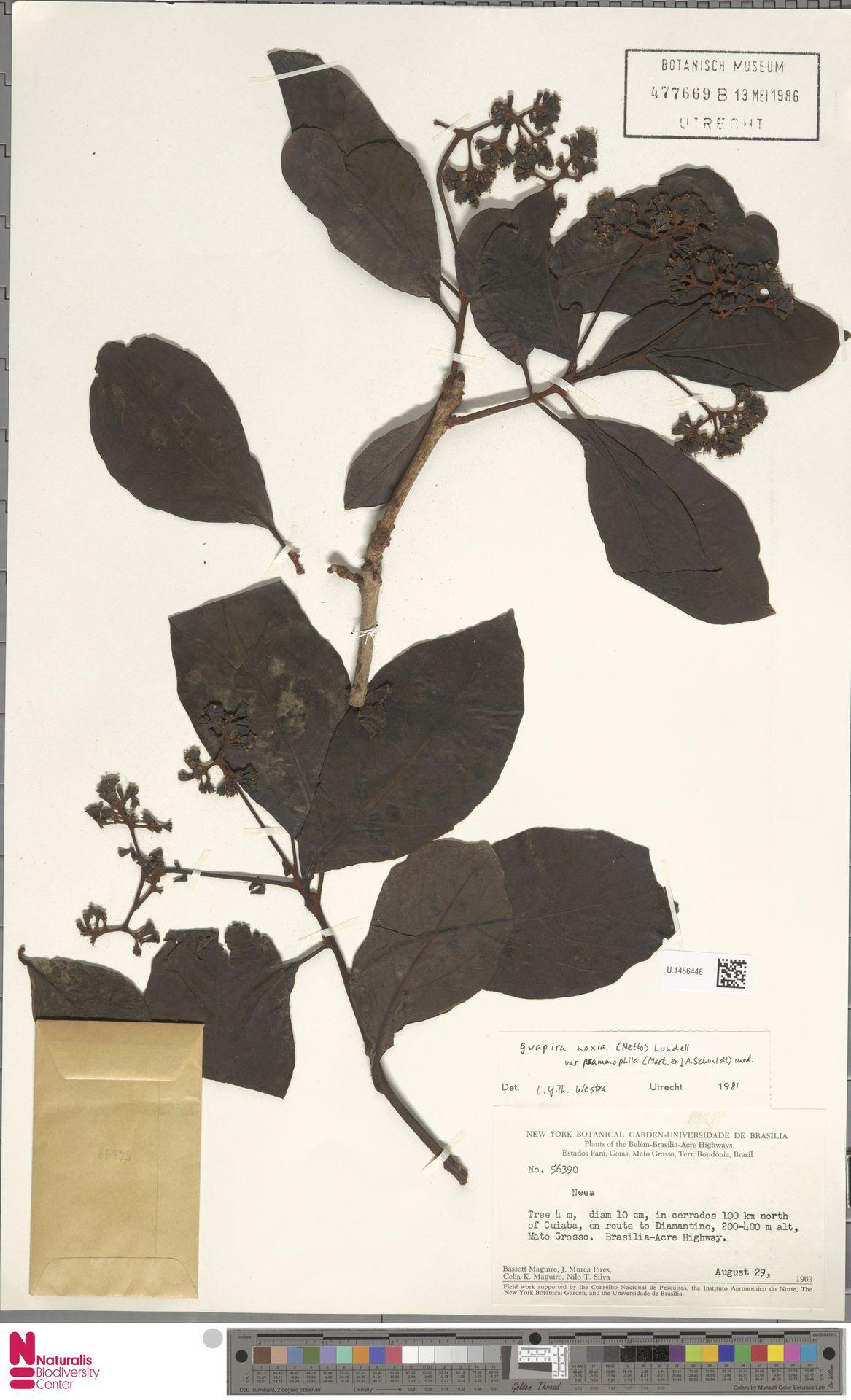 U.1456446 | Guapira noxia var. psammophila Mart. ex J.A.Schmidt