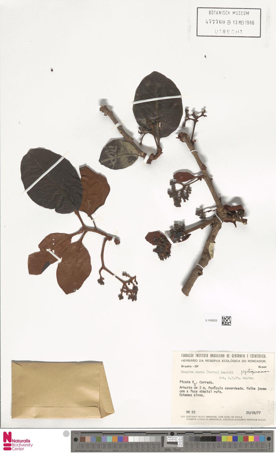 U.1456525 | Guapira noxia (Netto) Lundell