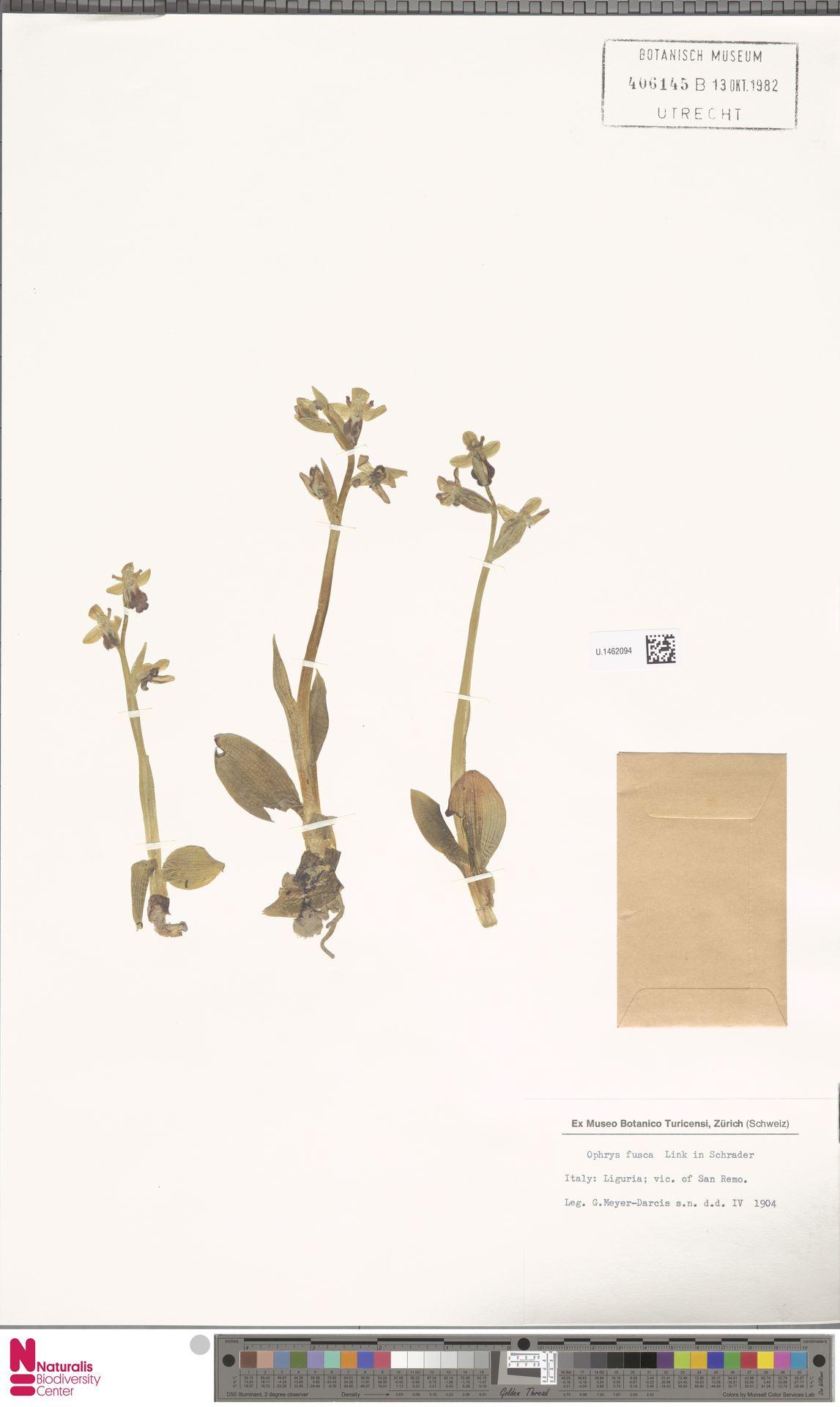 U.1462094   Ophrys fusca Link