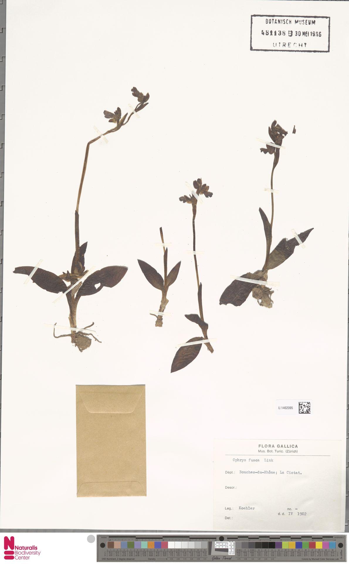 U.1462095 | Ophrys fusca Link