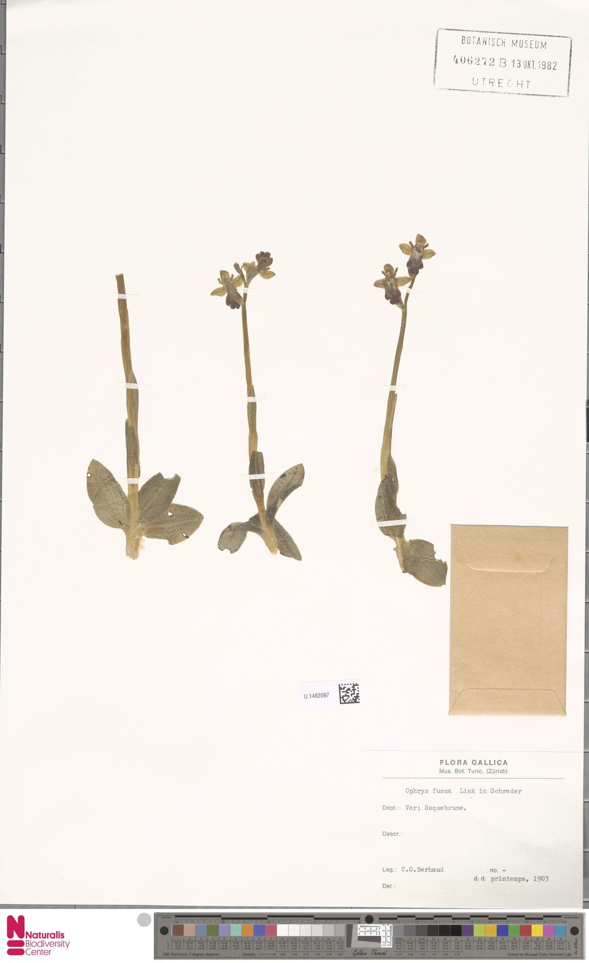 U.1462097 | Ophrys fusca Link