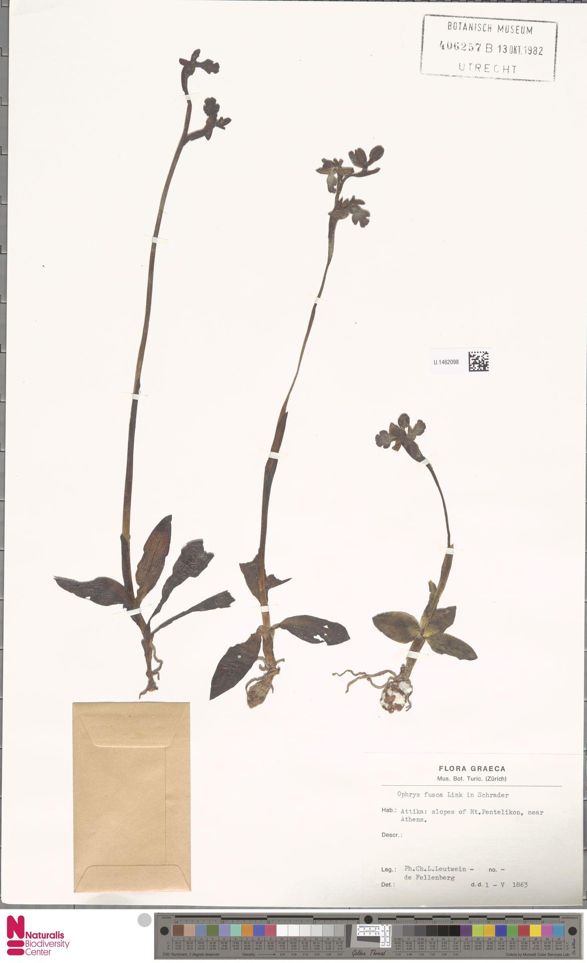 U.1462098 | Ophrys fusca Link