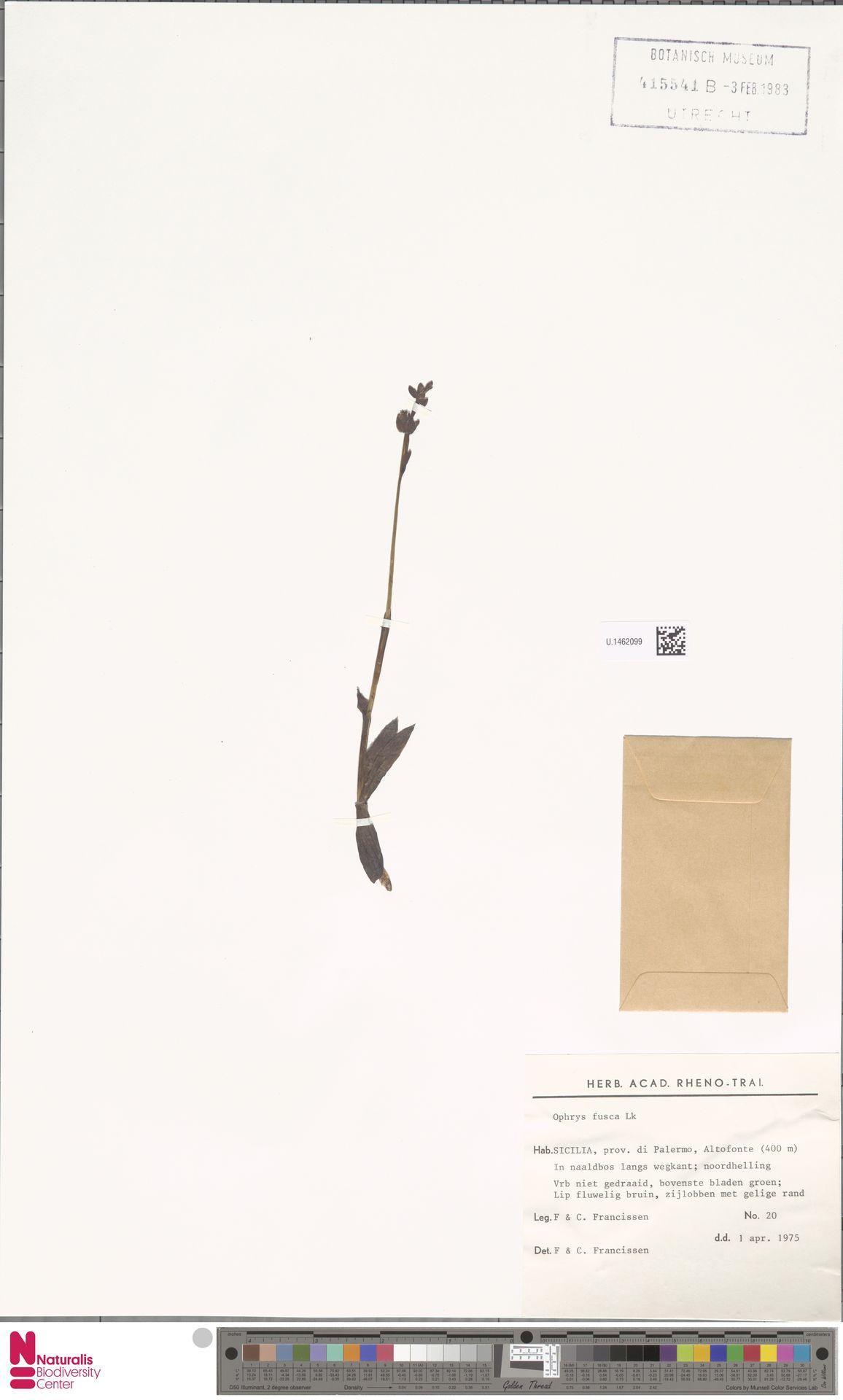 U.1462099 | Ophrys fusca Link