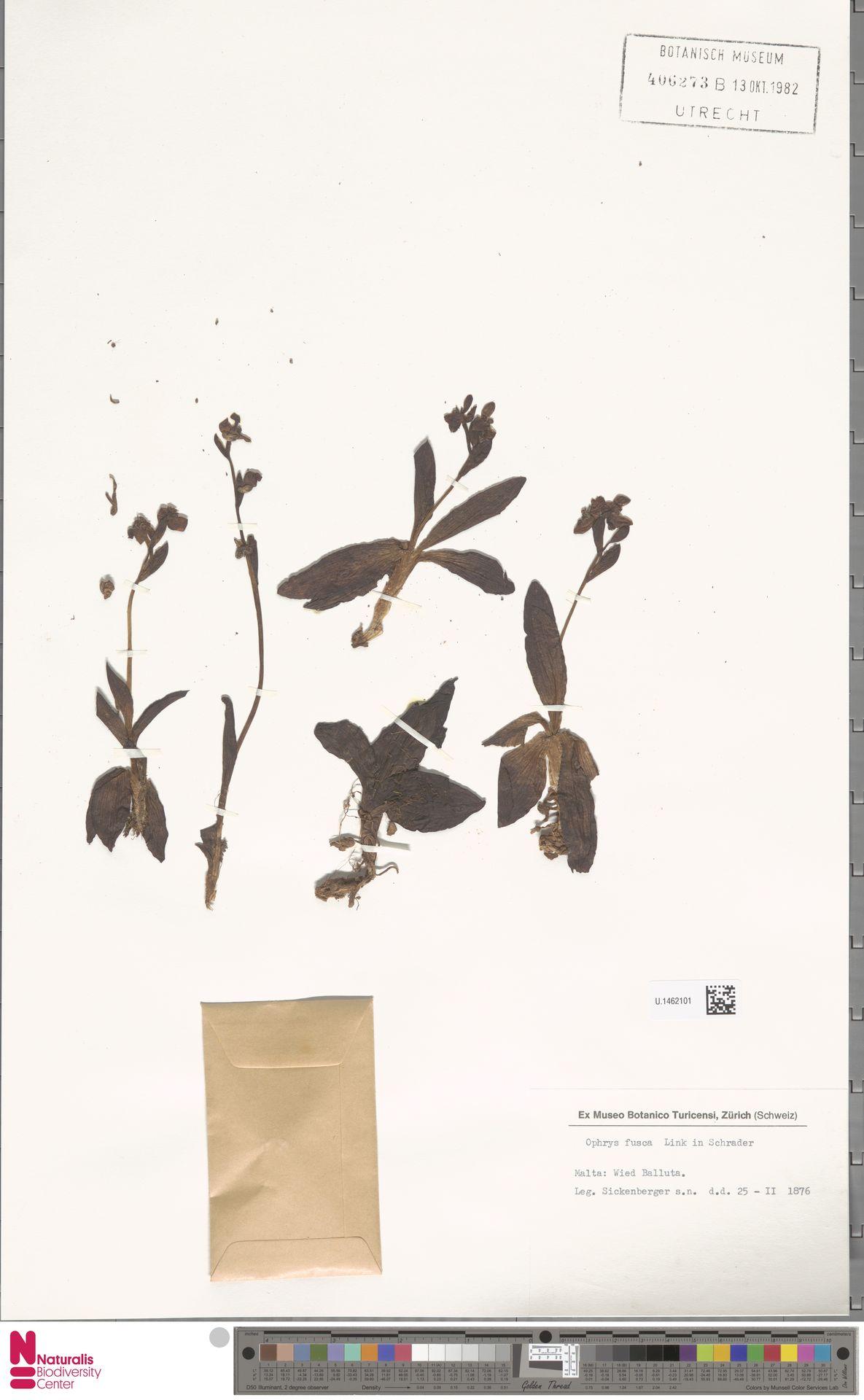 U.1462101 | Ophrys fusca Link