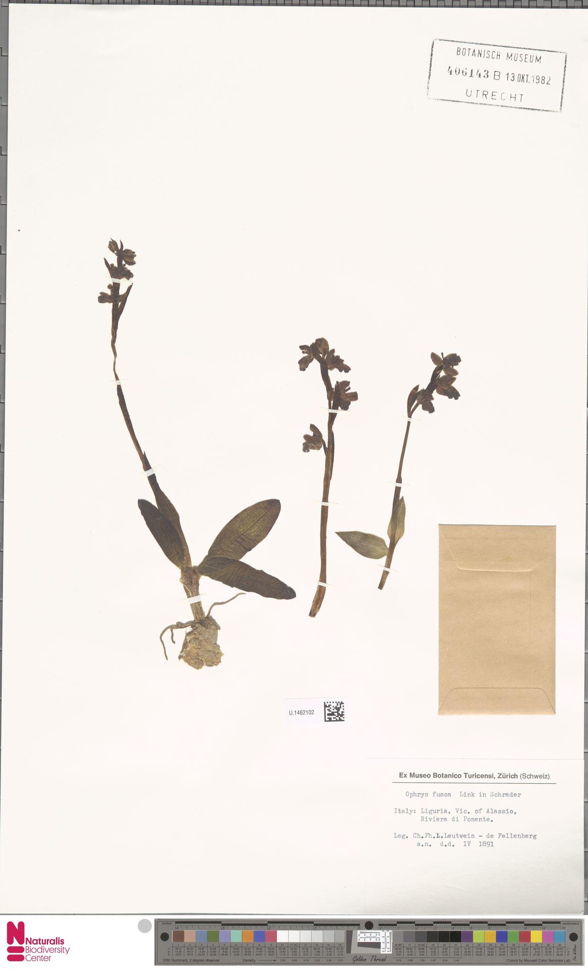 U.1462102 | Ophrys fusca Link