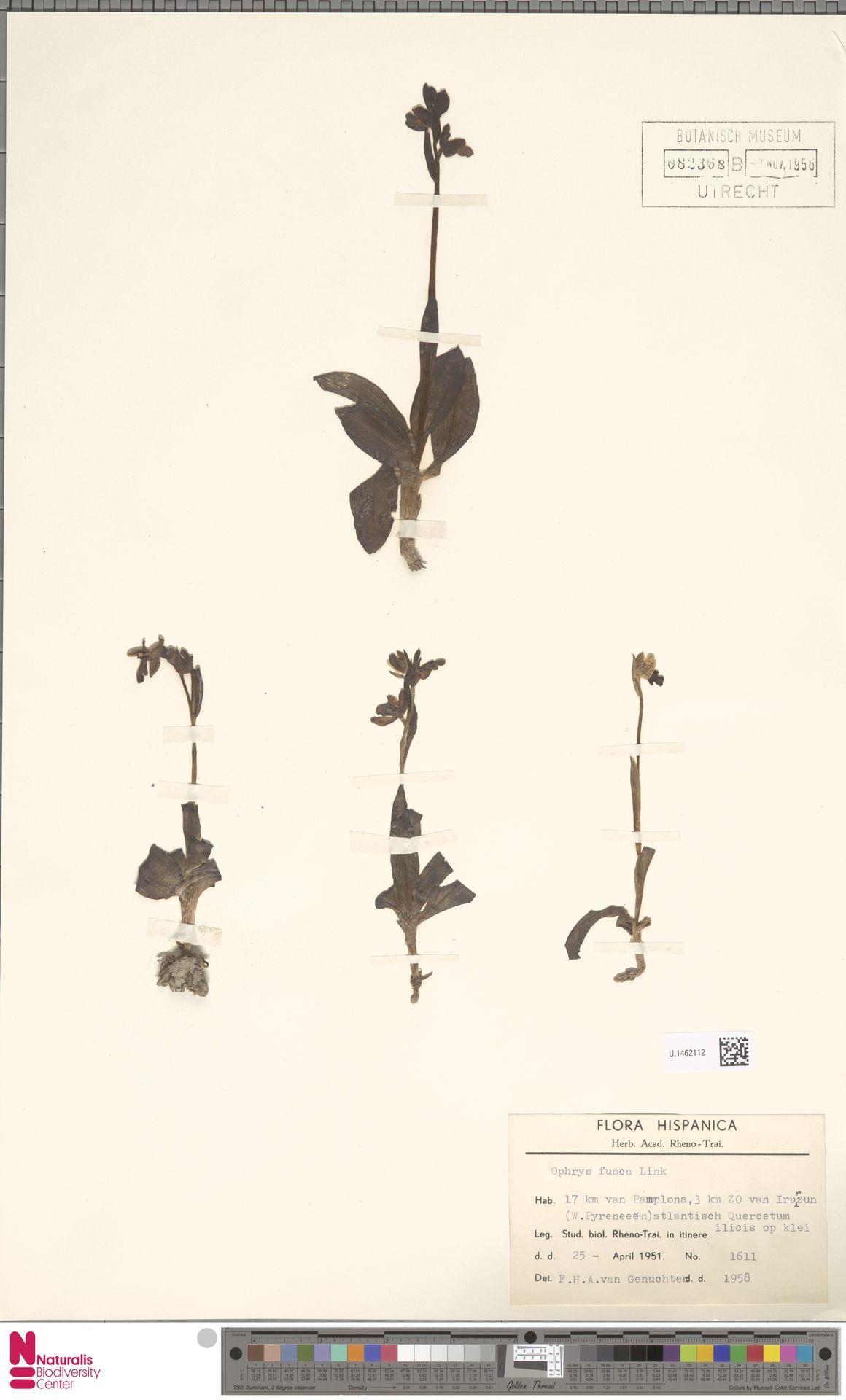 U.1462112 | Ophrys fusca Link
