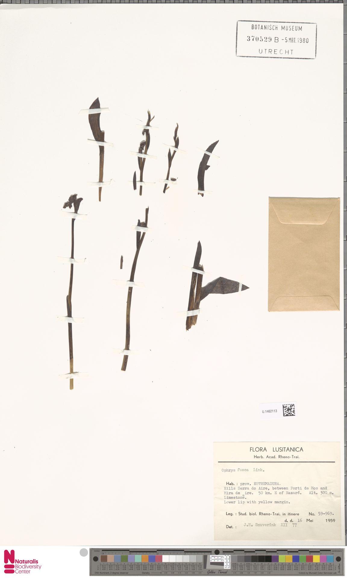 U.1462113 | Ophrys fusca Link
