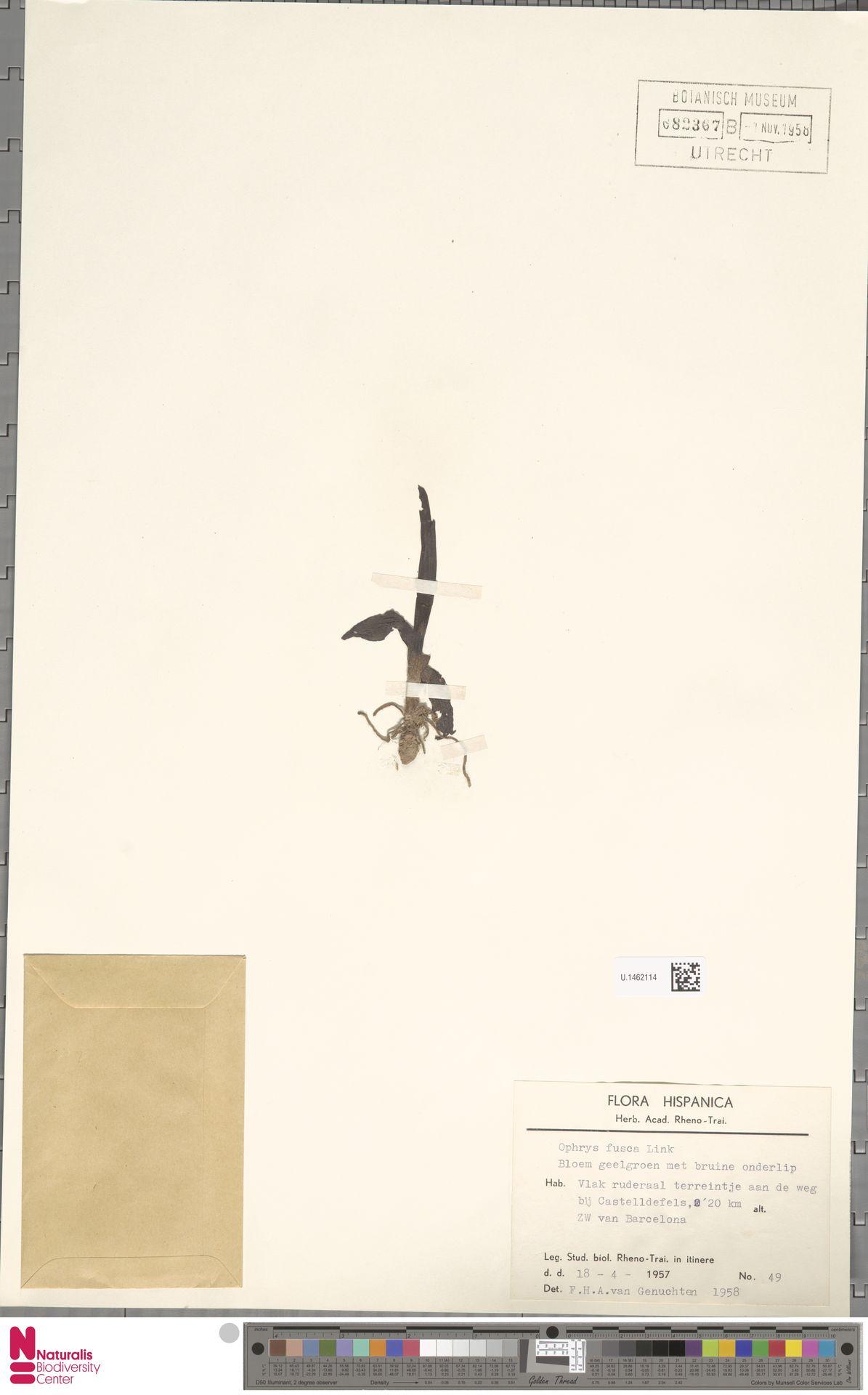 U.1462114 | Ophrys fusca Link