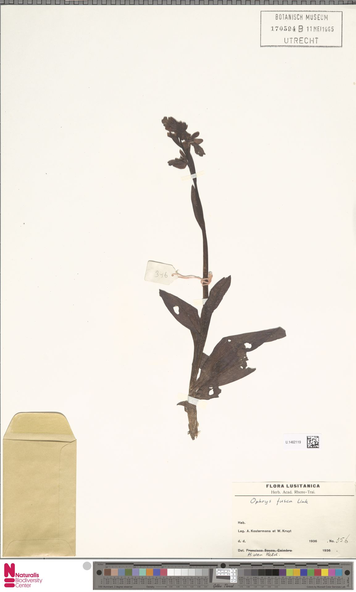 U.1462119 | Ophrys fusca Link