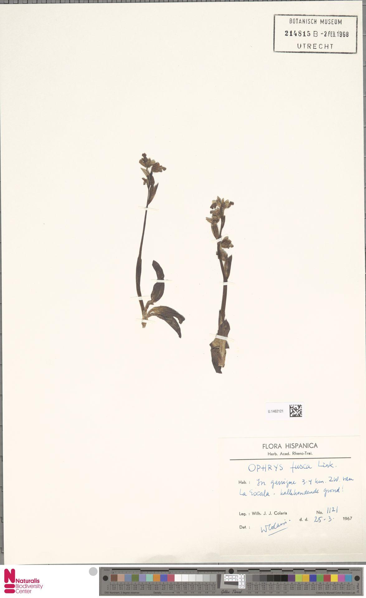 U.1462121 | Ophrys fusca Link