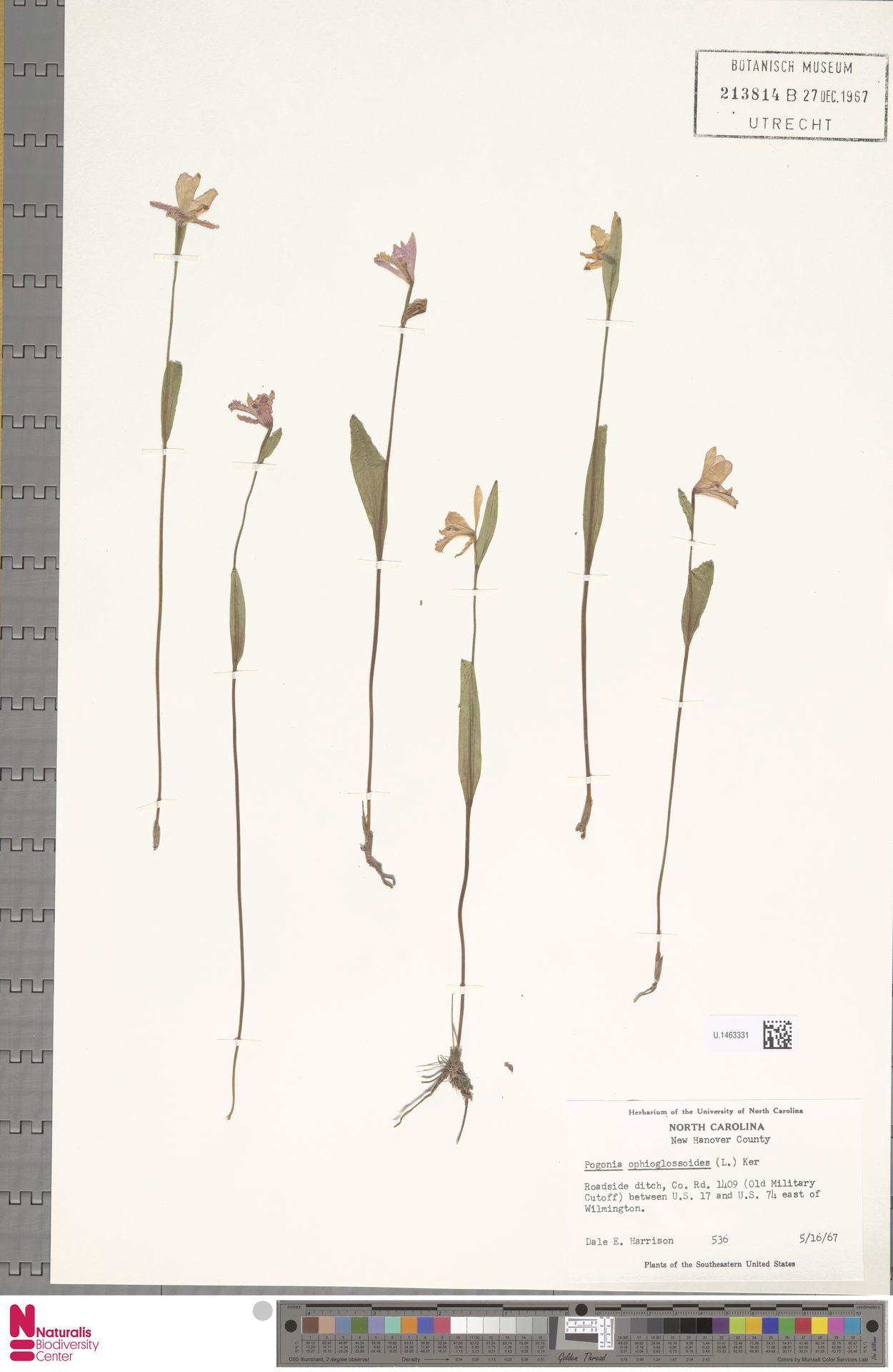U.1463331 | Pogonia ophioglossoides Nutt.