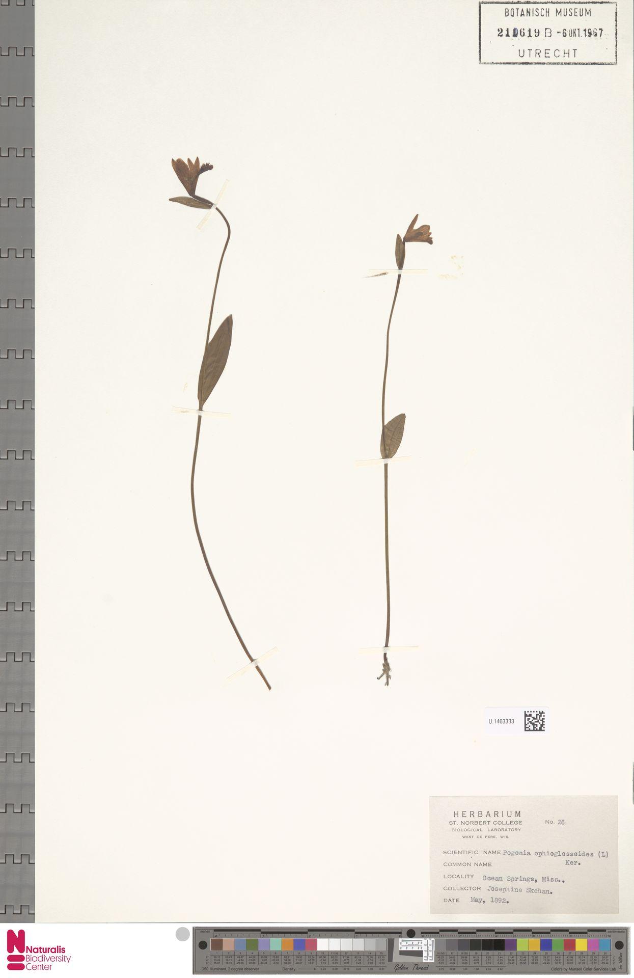 U.1463333 | Pogonia ophioglossoides Nutt.