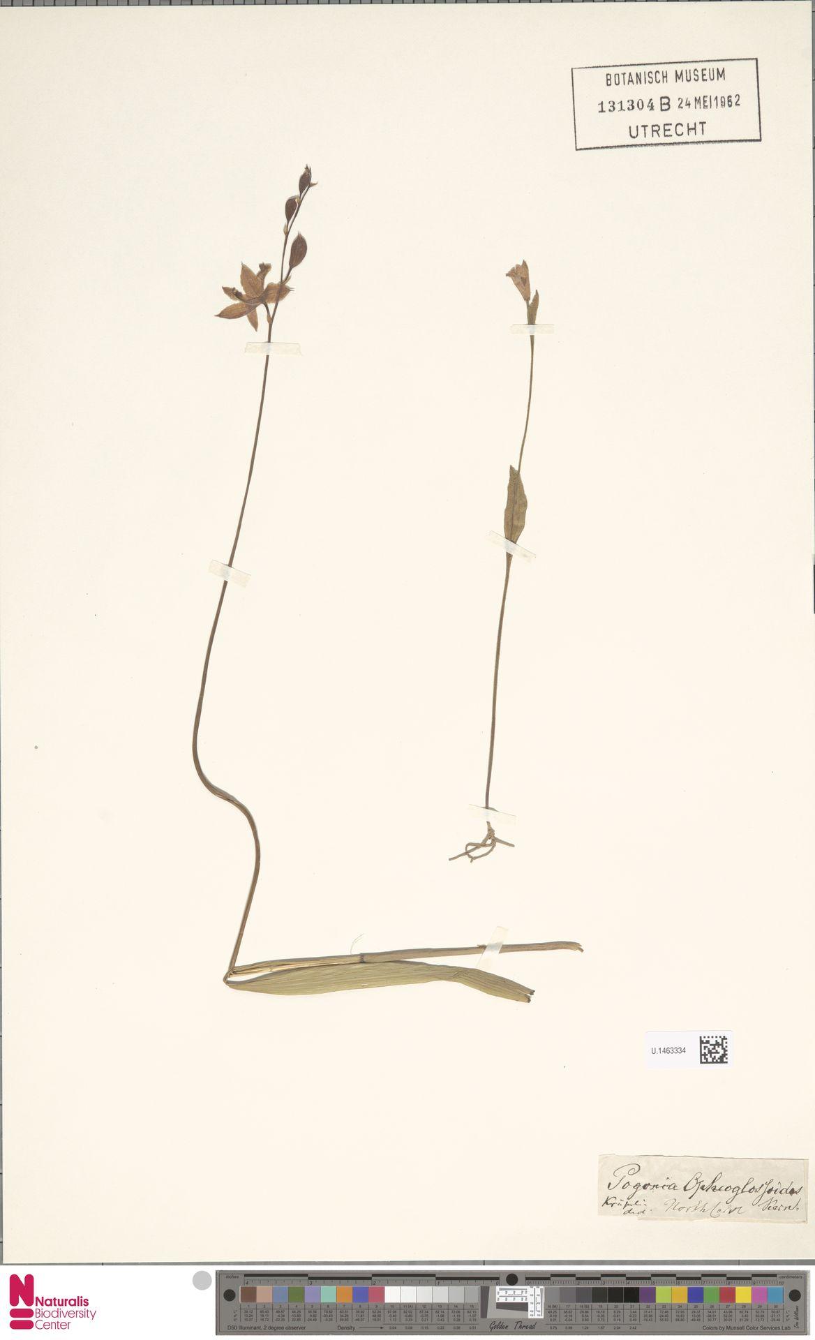 U.1463334 | Pogonia ophioglossoides Nutt.