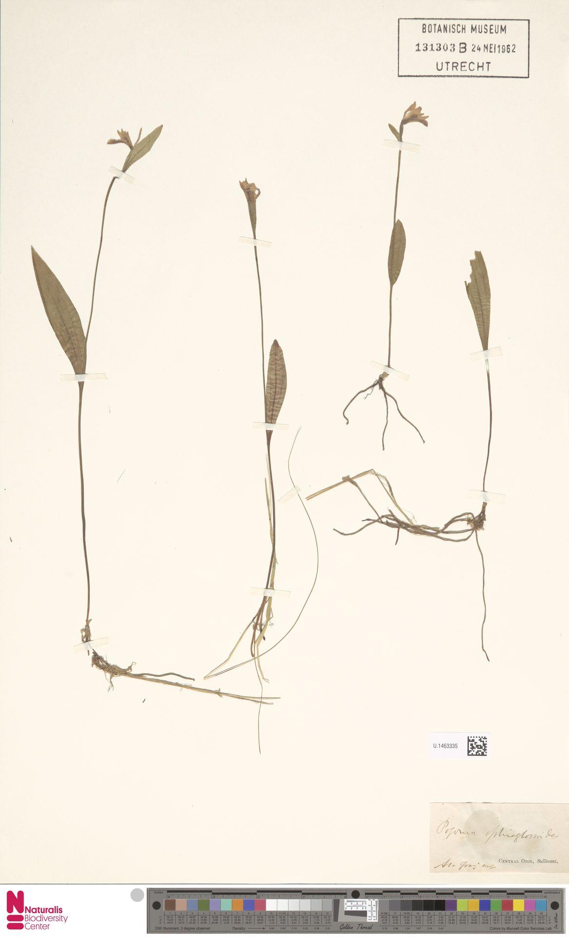 U.1463335 | Pogonia ophioglossoides Nutt.