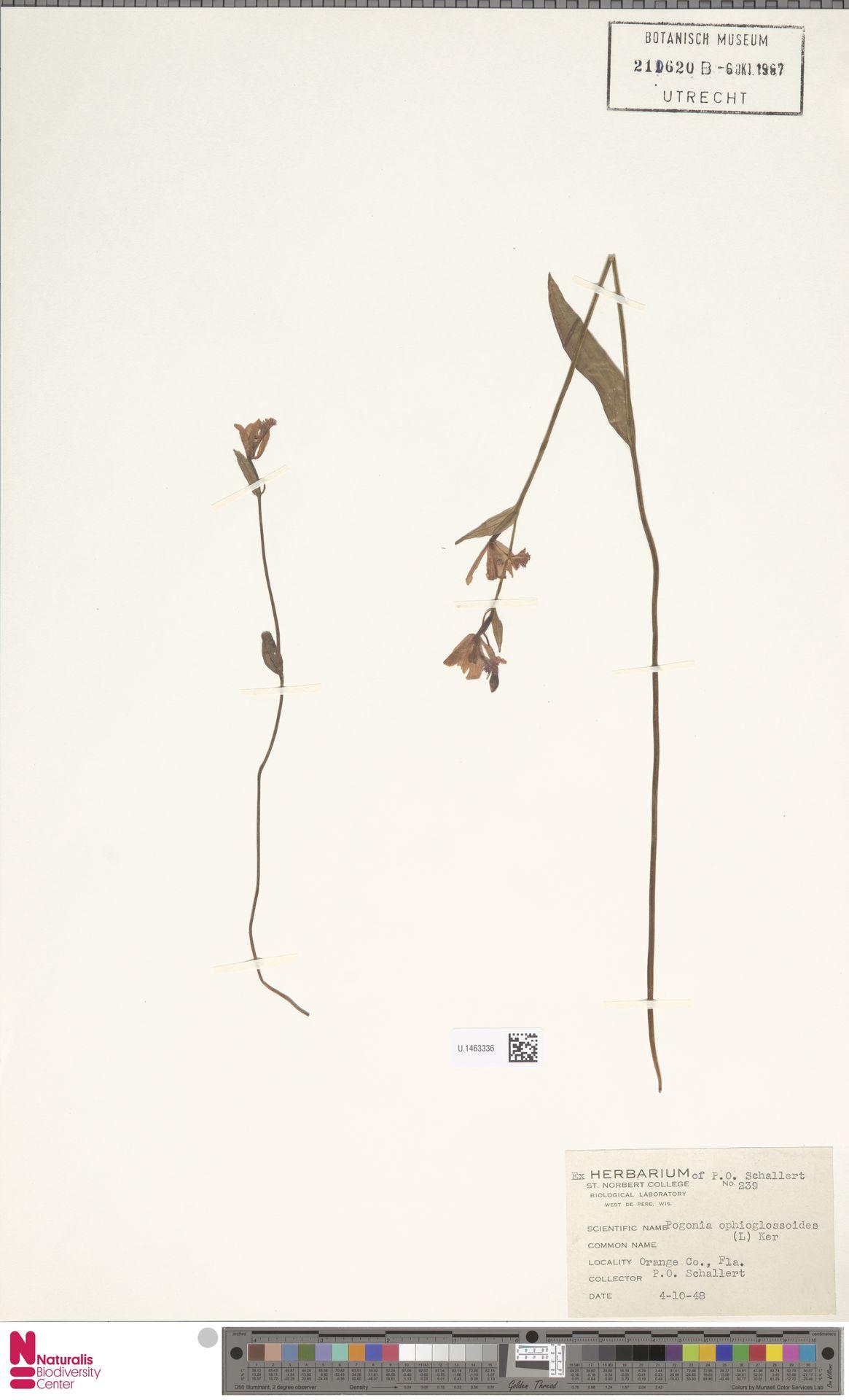 U.1463336 | Pogonia ophioglossoides Nutt.