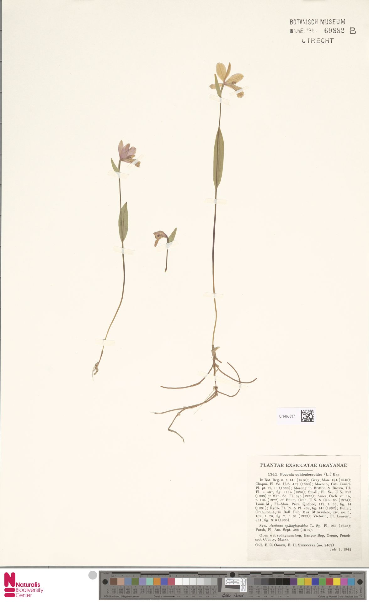 U.1463337 | Pogonia ophioglossoides Nutt.