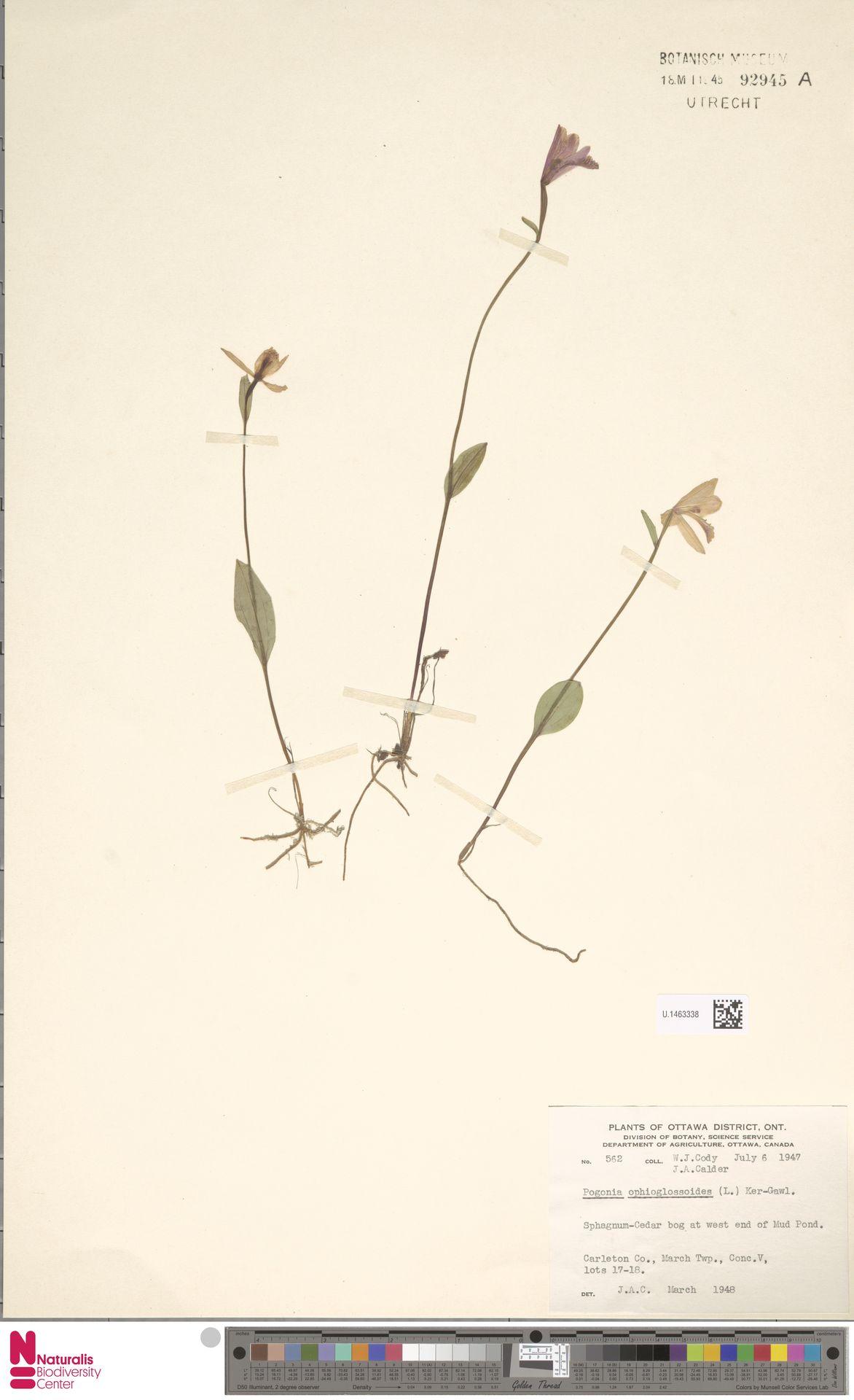 U.1463338   Pogonia ophioglossoides Nutt.