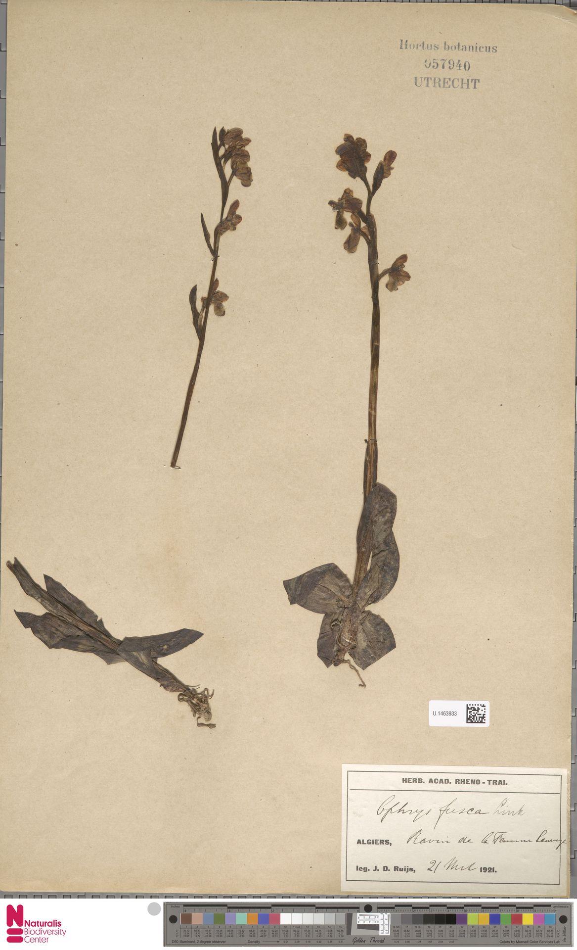 U.1463933 | Ophrys fusca Link