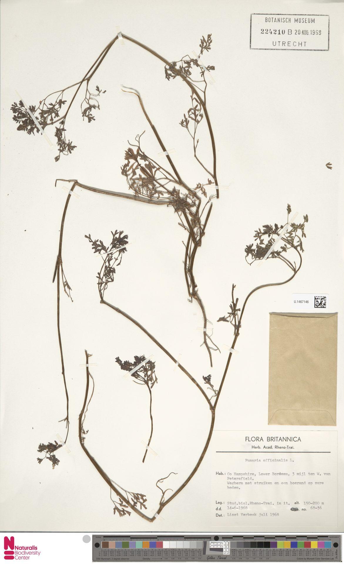 U.1467146 | Fumaria officinalis L.