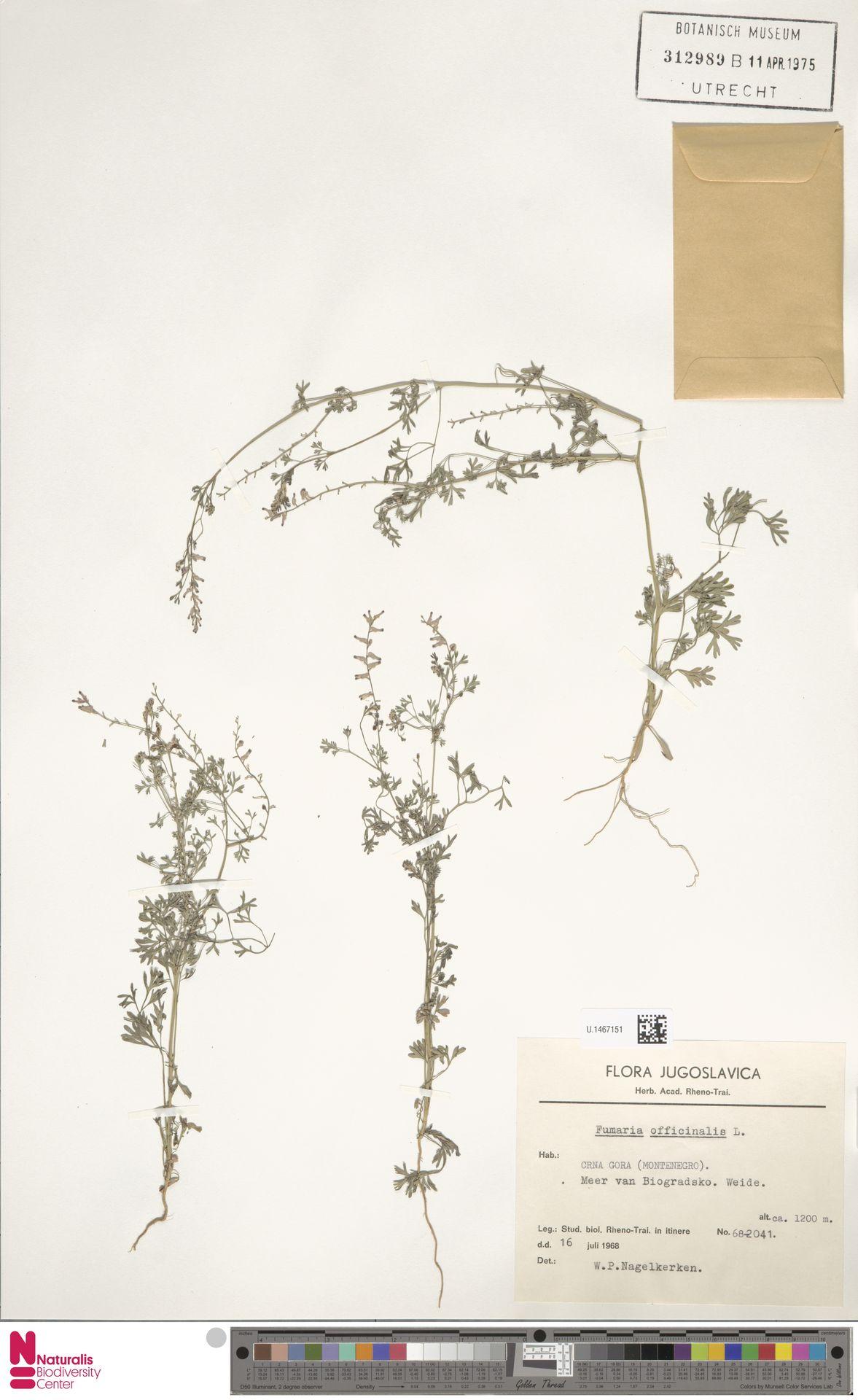 U.1467151 | Fumaria officinalis L.