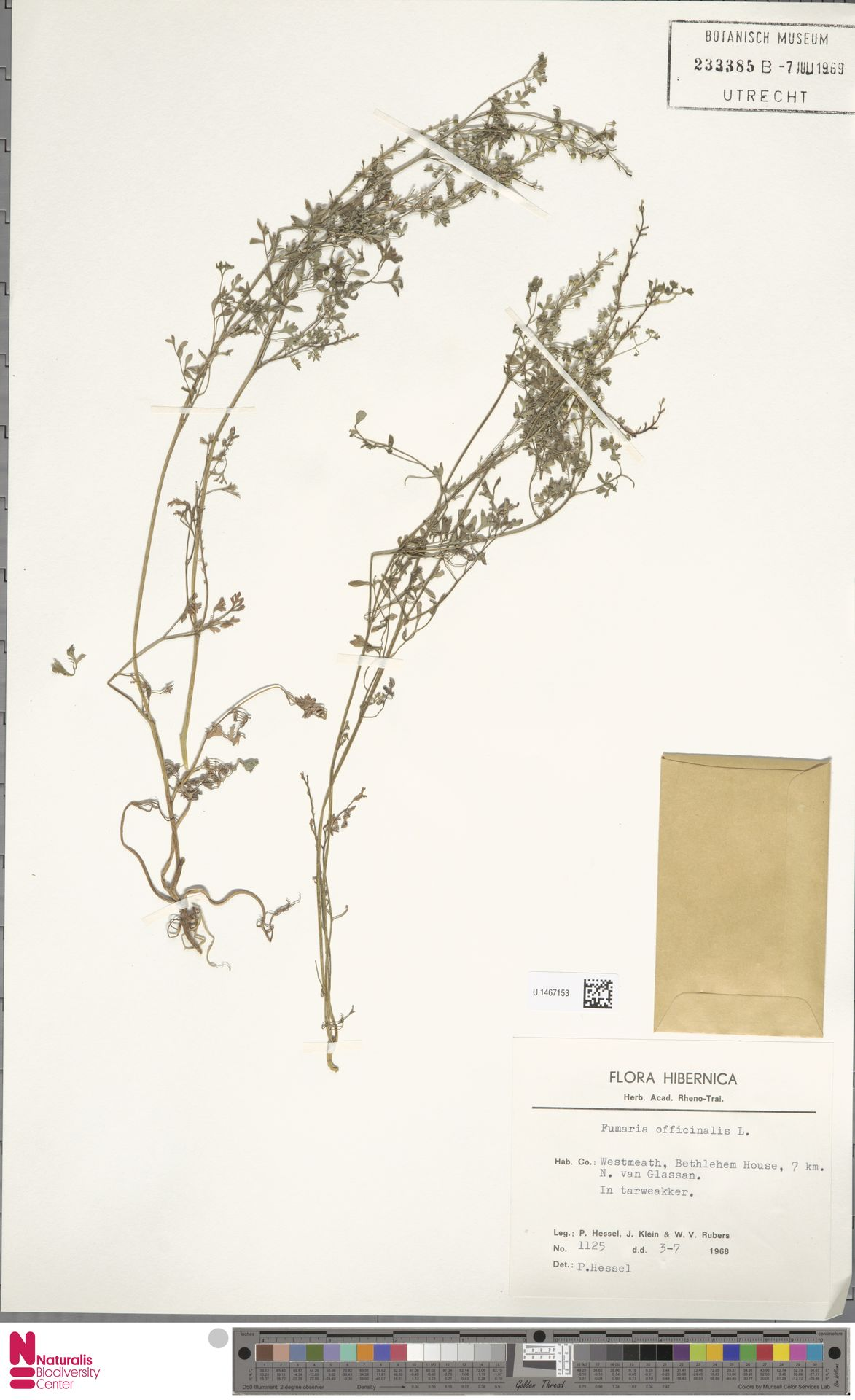 U.1467153   Fumaria officinalis L.