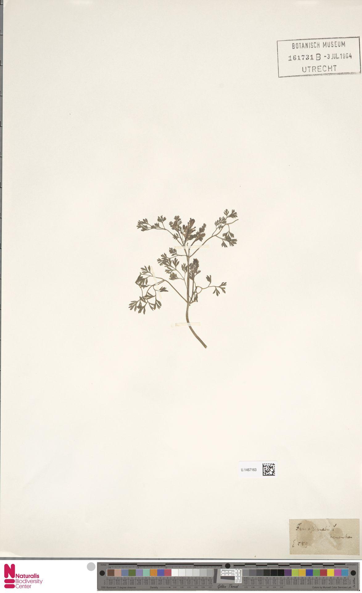 U.1467163 | Fumaria officinalis L.